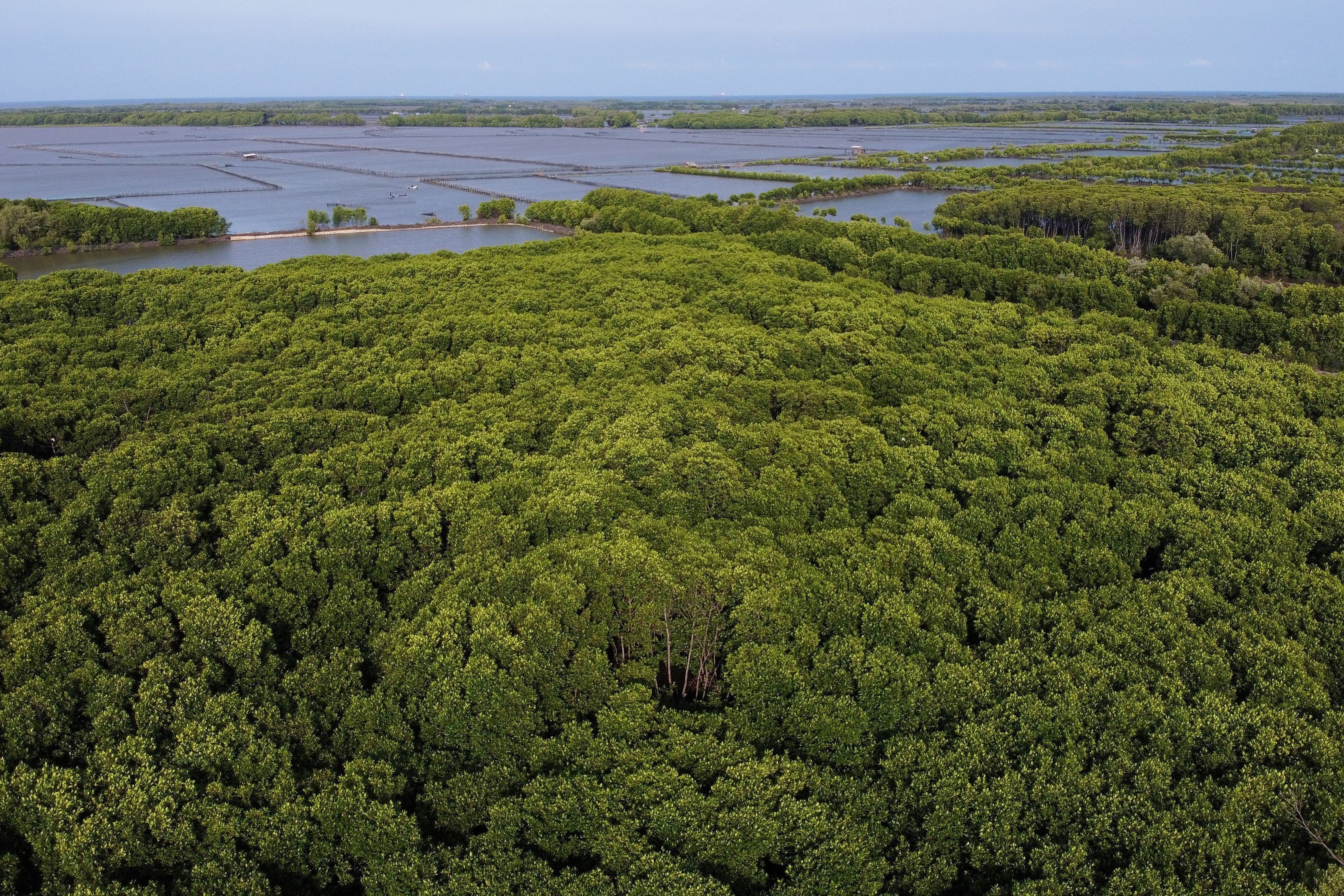 Indonesia's mangroves are at risk.