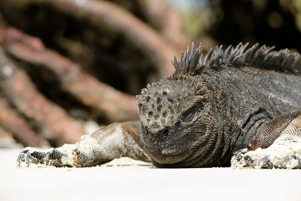 An iguana rests on the shores of the Galapagos islands