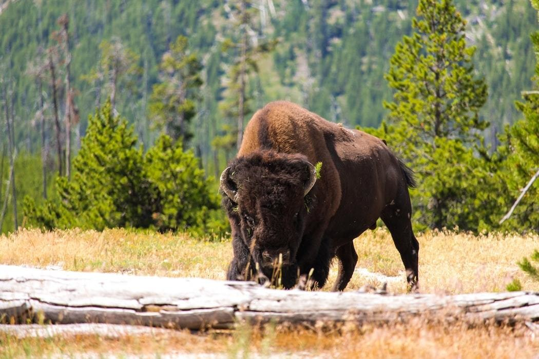A bison in Yellowstone National Park.