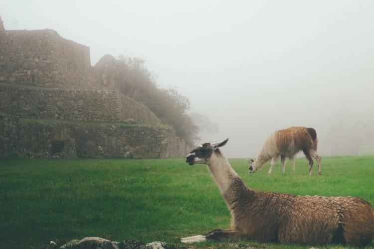image of llamas in Peru