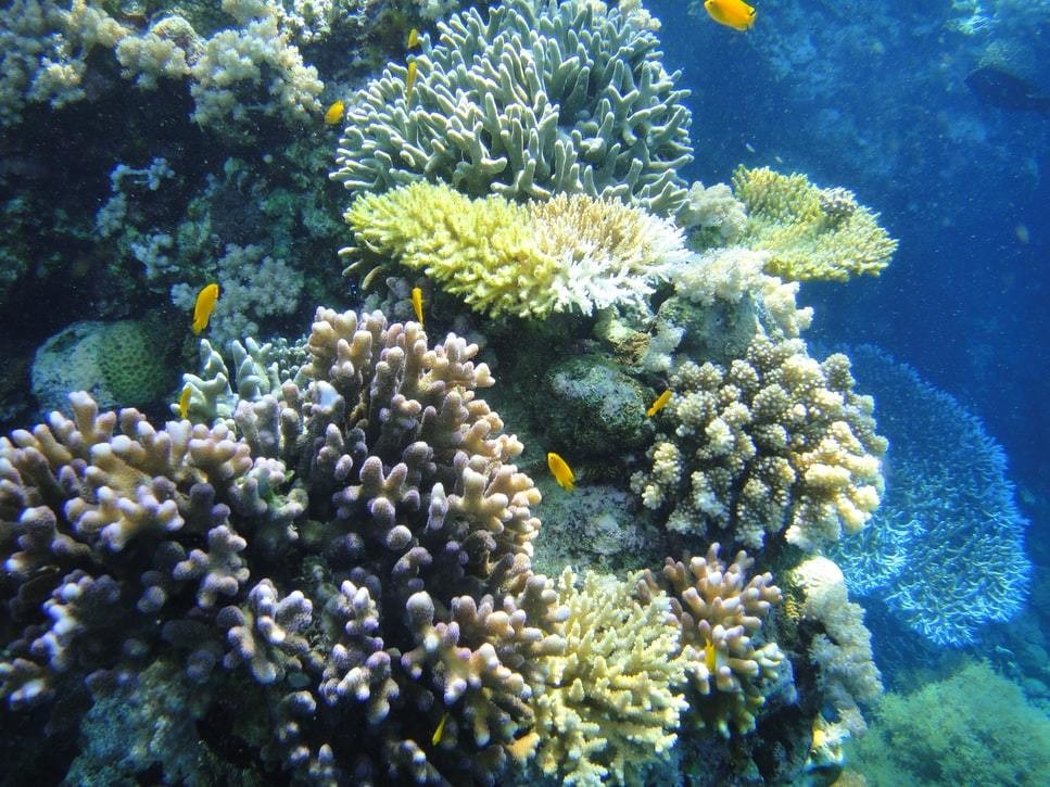 A croal reef is photographed with fish swimming around it.