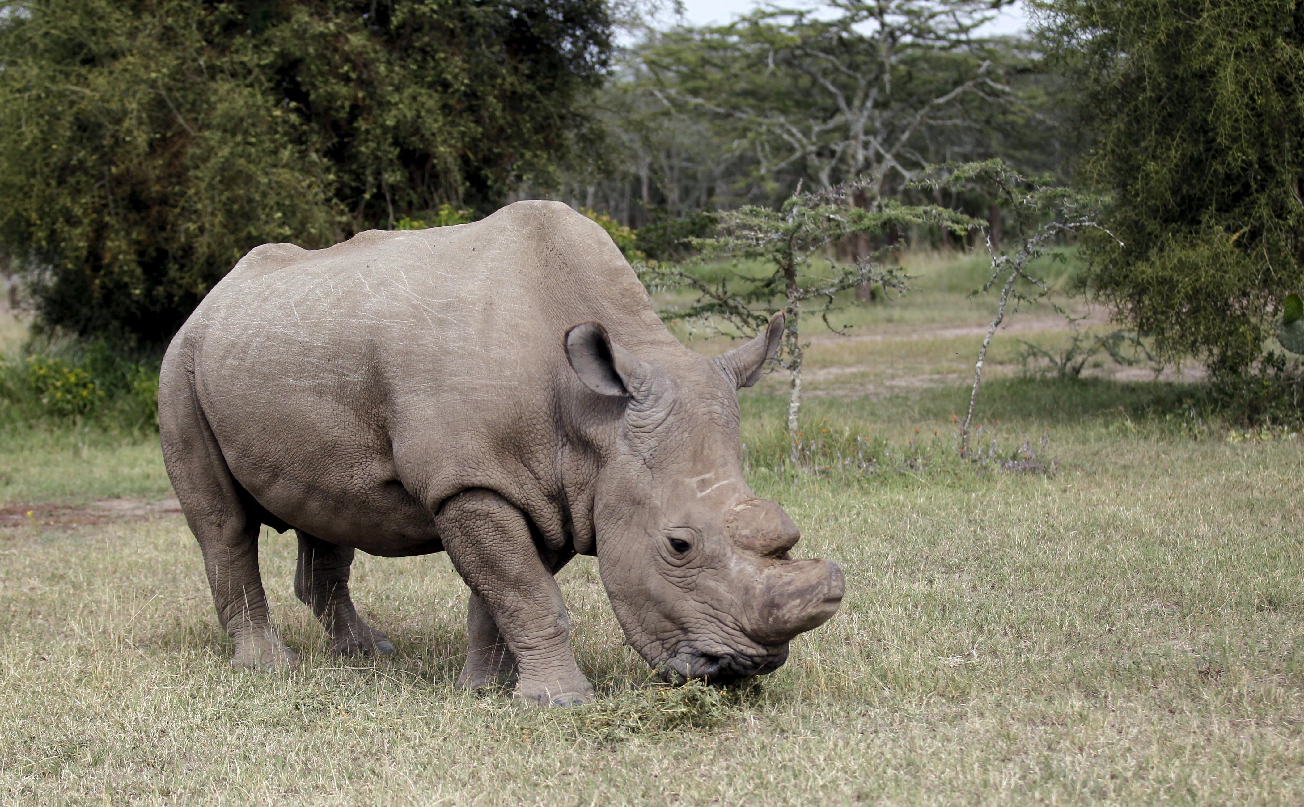 Image of the last surviving male white rhino grazing in Kenya