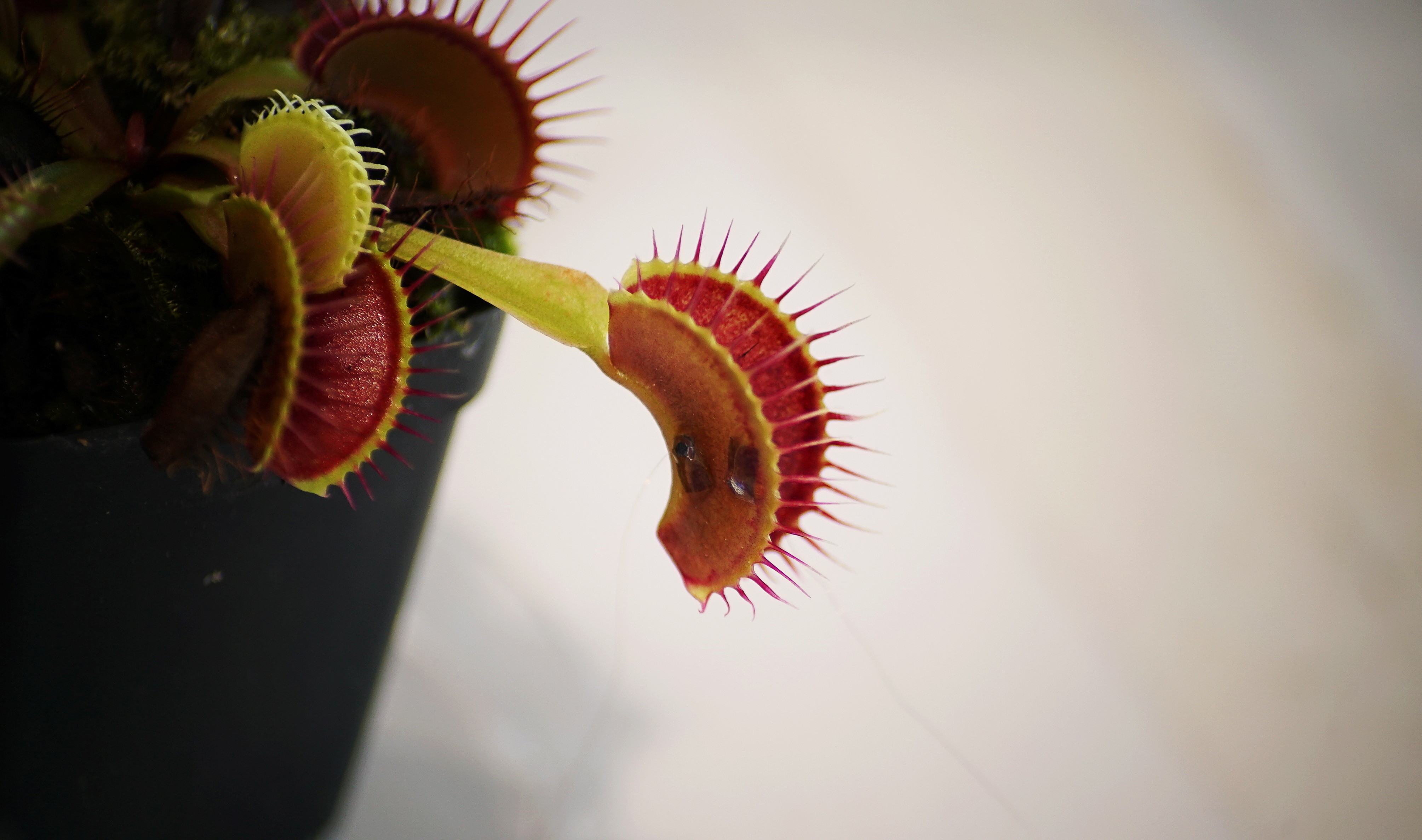 image of a Venus flytrap rigged with two electrodes during an experiment in a lab at Nanyang Technological University in Singapore