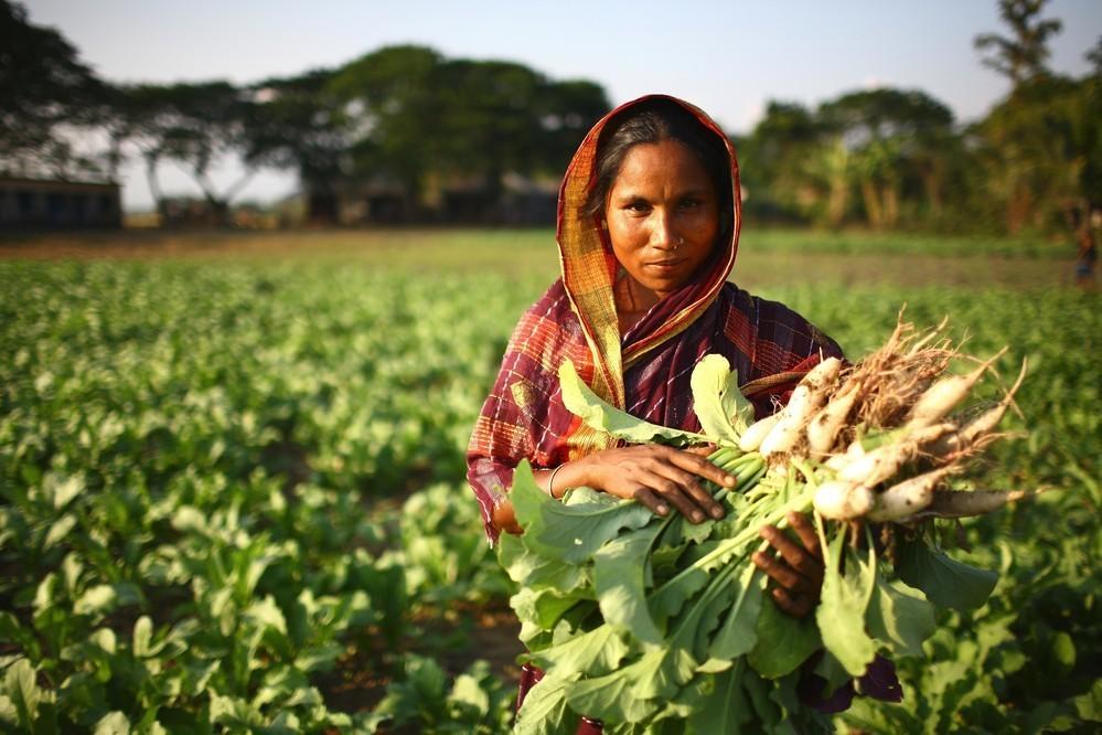 Woman farmer harvests radishes in Ampara, Bangladesh.
