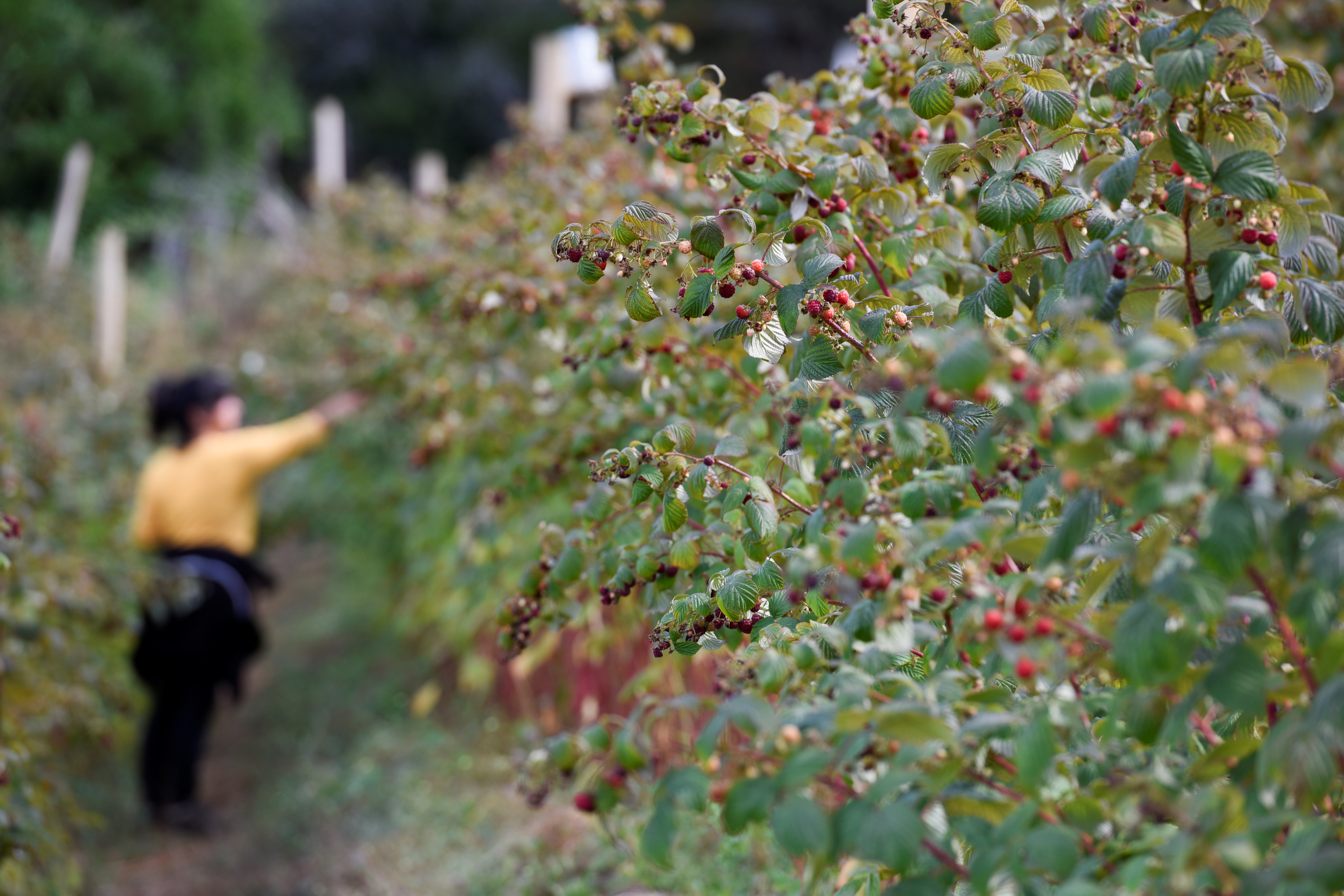 A woman harvests raspberries at a local farm near Chillan, Chile March 13, 2020. Picture taken March 13, 2020. REUTERS/Jose Luis Saavedra - RC2YCJ9G8CAM