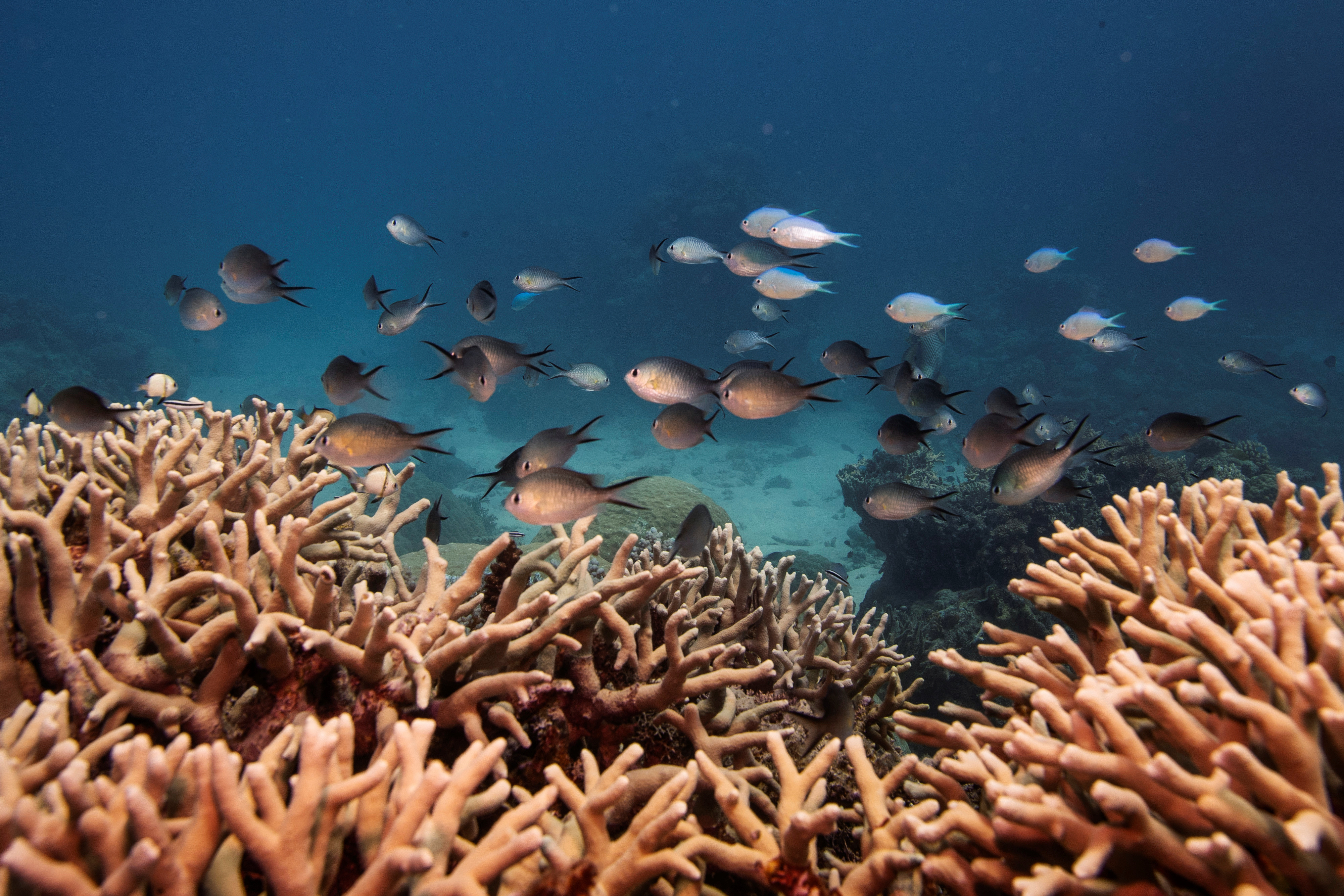 A school of fish swim above a staghorn coral colony as it grows on the Great Barrier Reef off the coast of Cairns, Australia October 25, 2019.