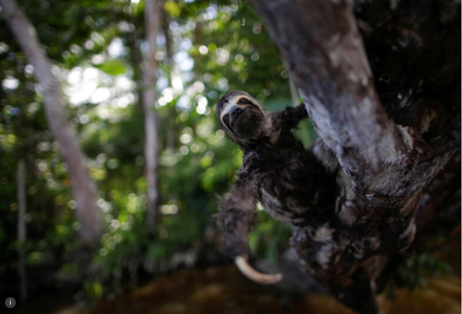 A three-toed sloth hangs from a tree on the outskirts of Melgaco Bay, southwest of Marajo island, in Para state, Brazil June 4, 2020. Picture taken June 4, 2020.