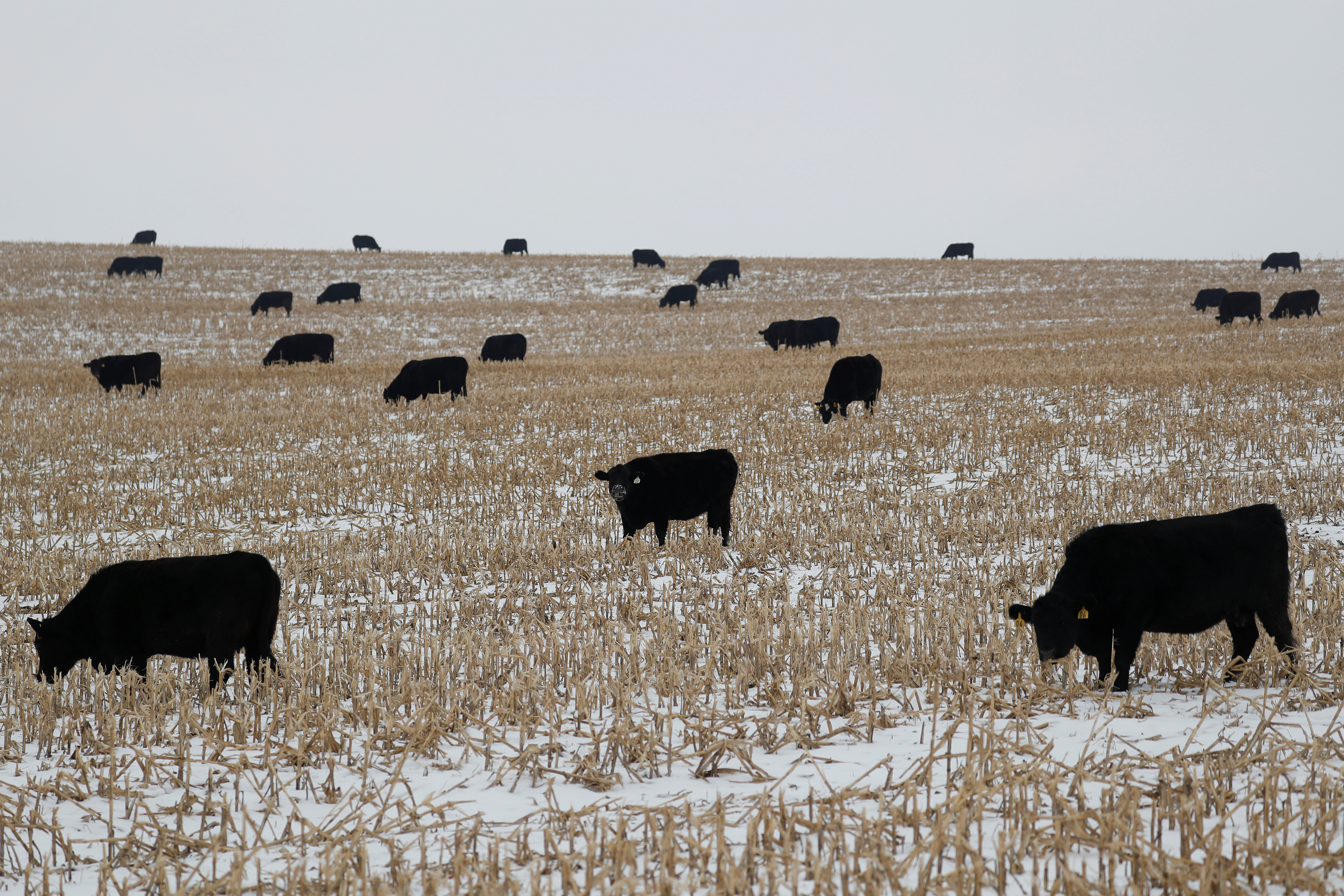 Cattle graze in a snow-covered cornfield near Newburg, Iowa, U.S. January 15, 2020. REUTERS/Shannon Stapleton - RC2MGE9PPO7O