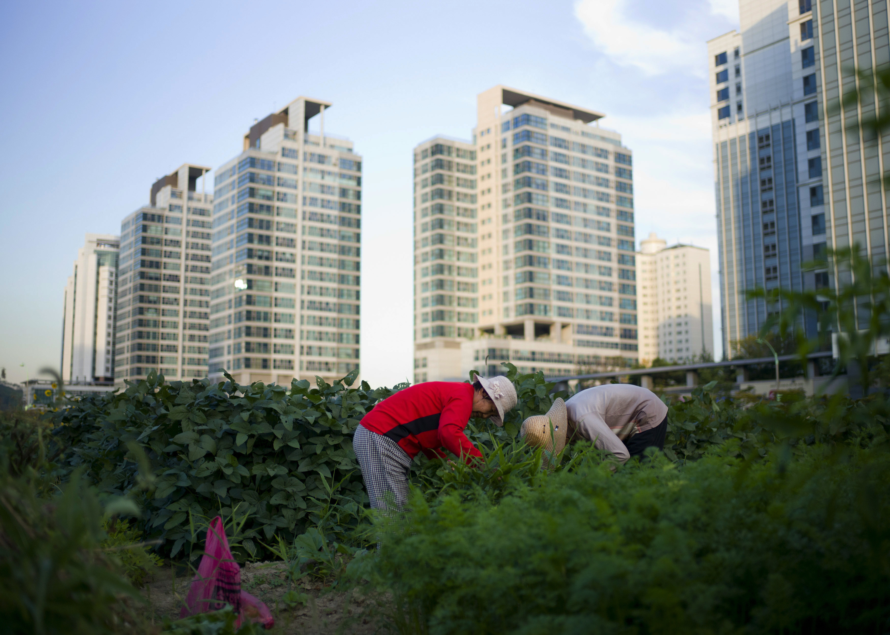 Women harvest crops from a communal green area among high-rise apartments in Incheon September 18, 2014.   REUTERS/Jason Reed  (SOUTH KOREA - Tags: AGRICULTURE SOCIETY) - GM1EA9I1HMH01