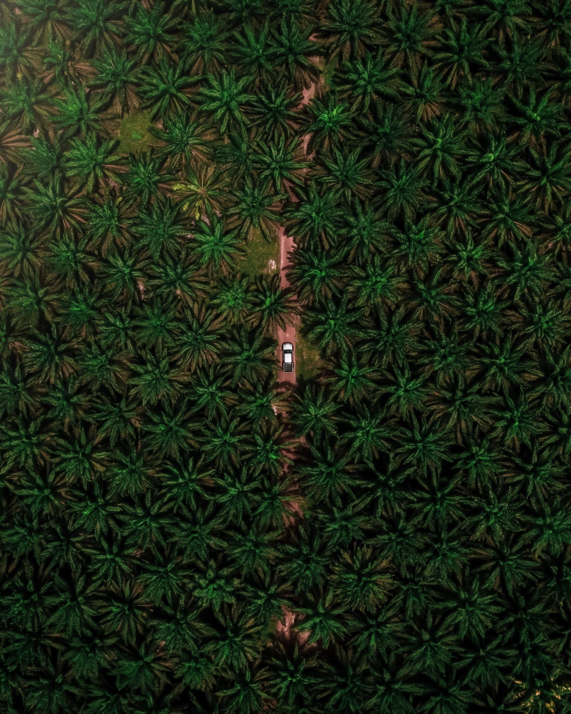 Aerial view of palm oil trees