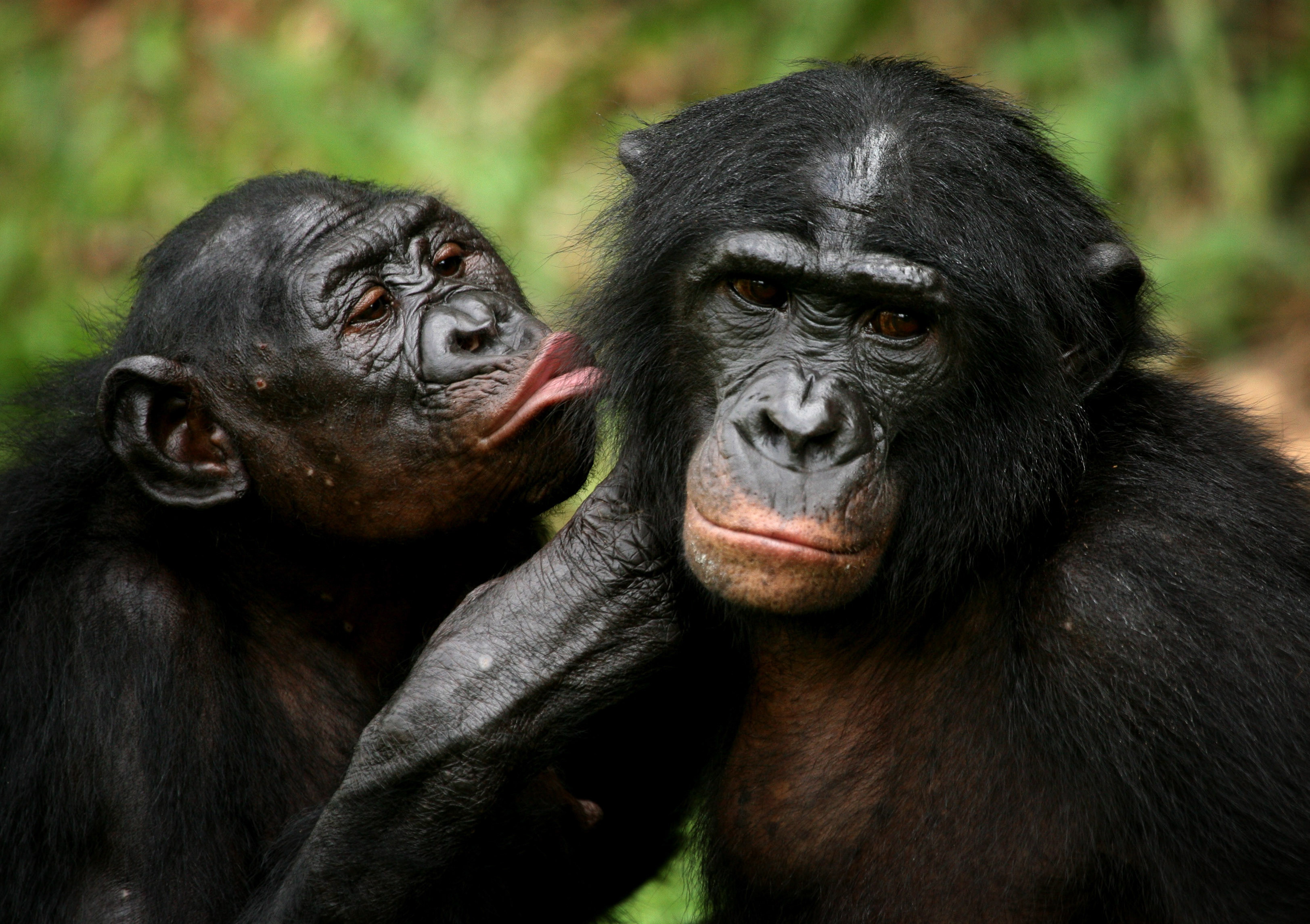 Bonobo apes, primates unique to Congo and humankind's closest relative, groom one another at a sanctuary just outside the capital Kinshasa, Congo on October 31, 2006.   REUTERS/Finbarr O'Reilly/File Photo - TM3ECAR15L201