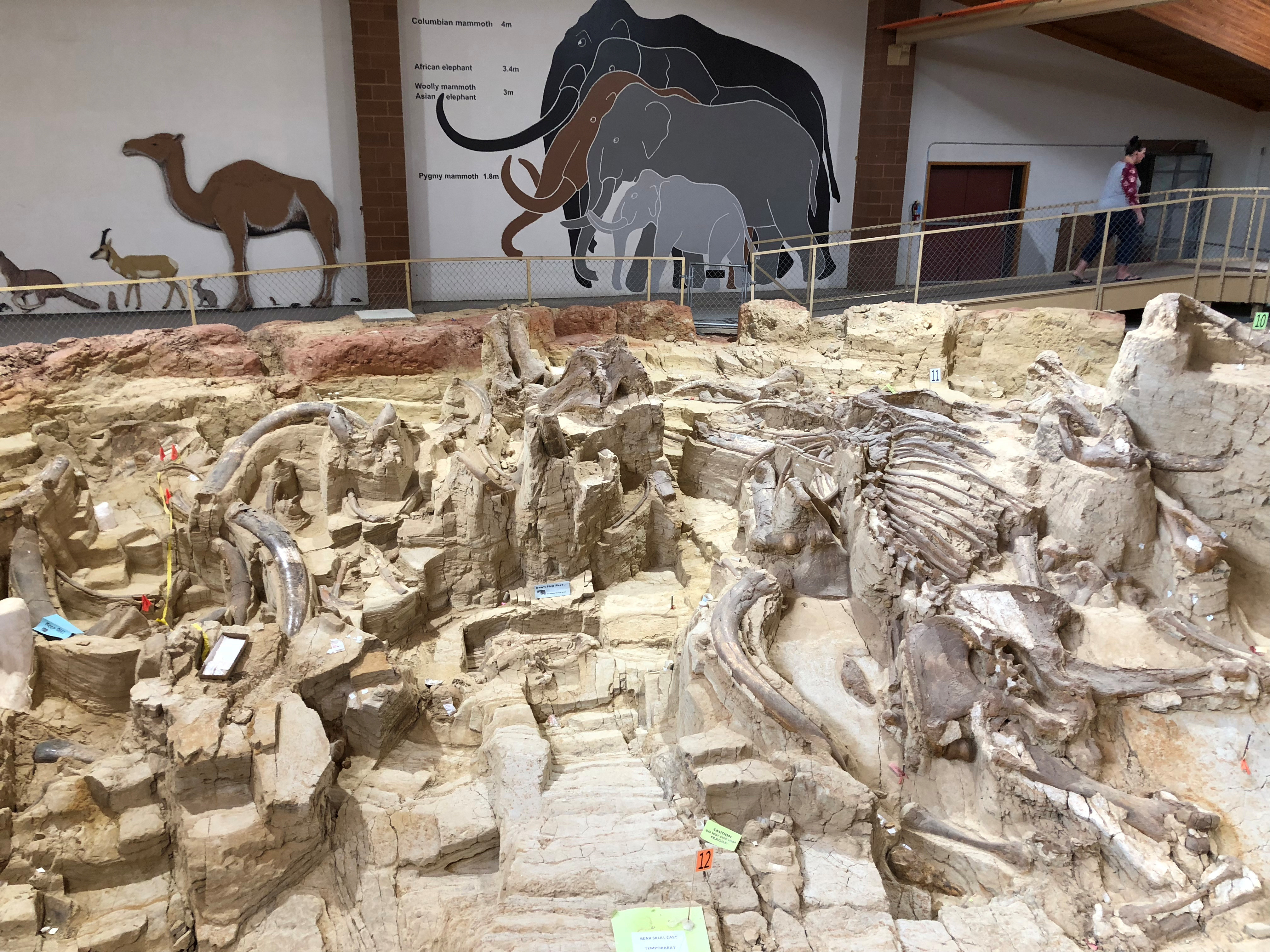 Fossilized bones of mammoths, one of the large mammals that roamed North America during the last Ice Age, are displayed at the Mammoth Site where numerous mammoth fossils have been excavated in Hot Springs, South Dakota, U.S. August 31, 2018. Picture taken August 31, 2018.  REUTERS/Will Dunham - RC2TLI9RYMXZ