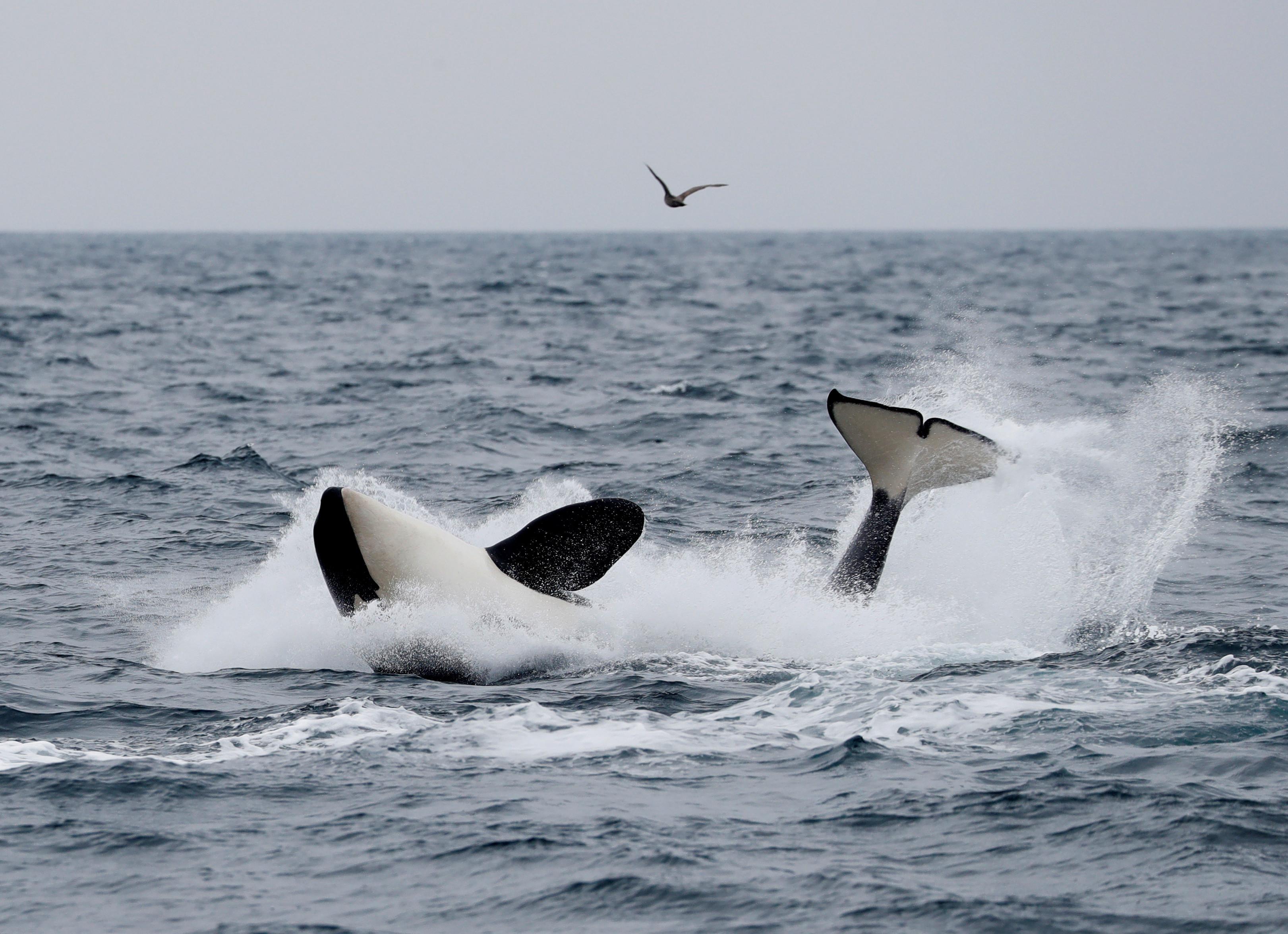 A killer whale swims in the sea near Rausu, Hokkaido, Japan, July 1, 2019.Picture taken July 1, 2019.    REUTERS/Kim Kyung-Hoon - RC1A2E1629D0