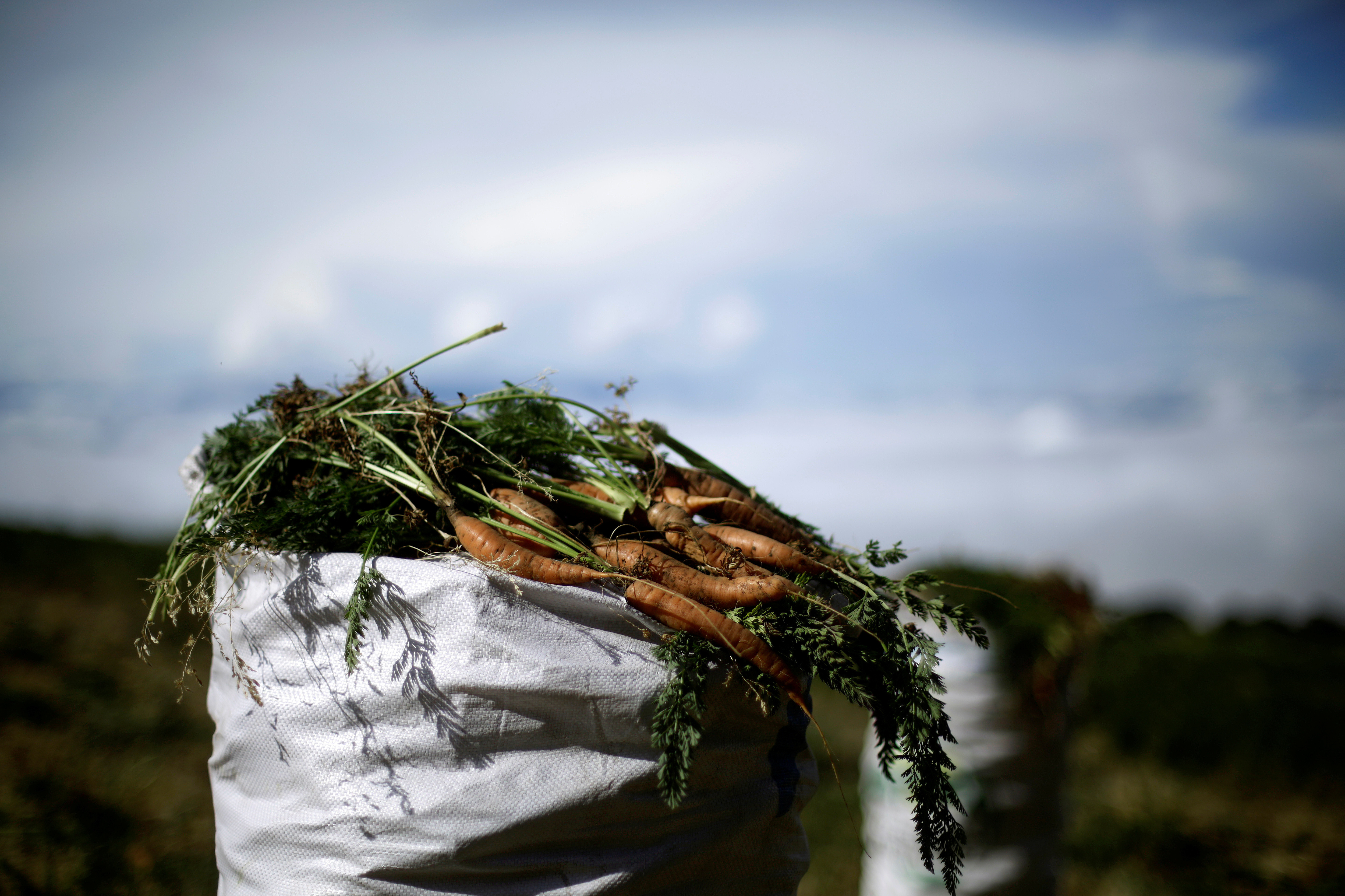 A sack filled with freshly harvested carrots is seen at a plantation in Cartago, Costa Rica April 27, 2018. REUTERS/Juan Carlos Ulate - RC175455EDE0
