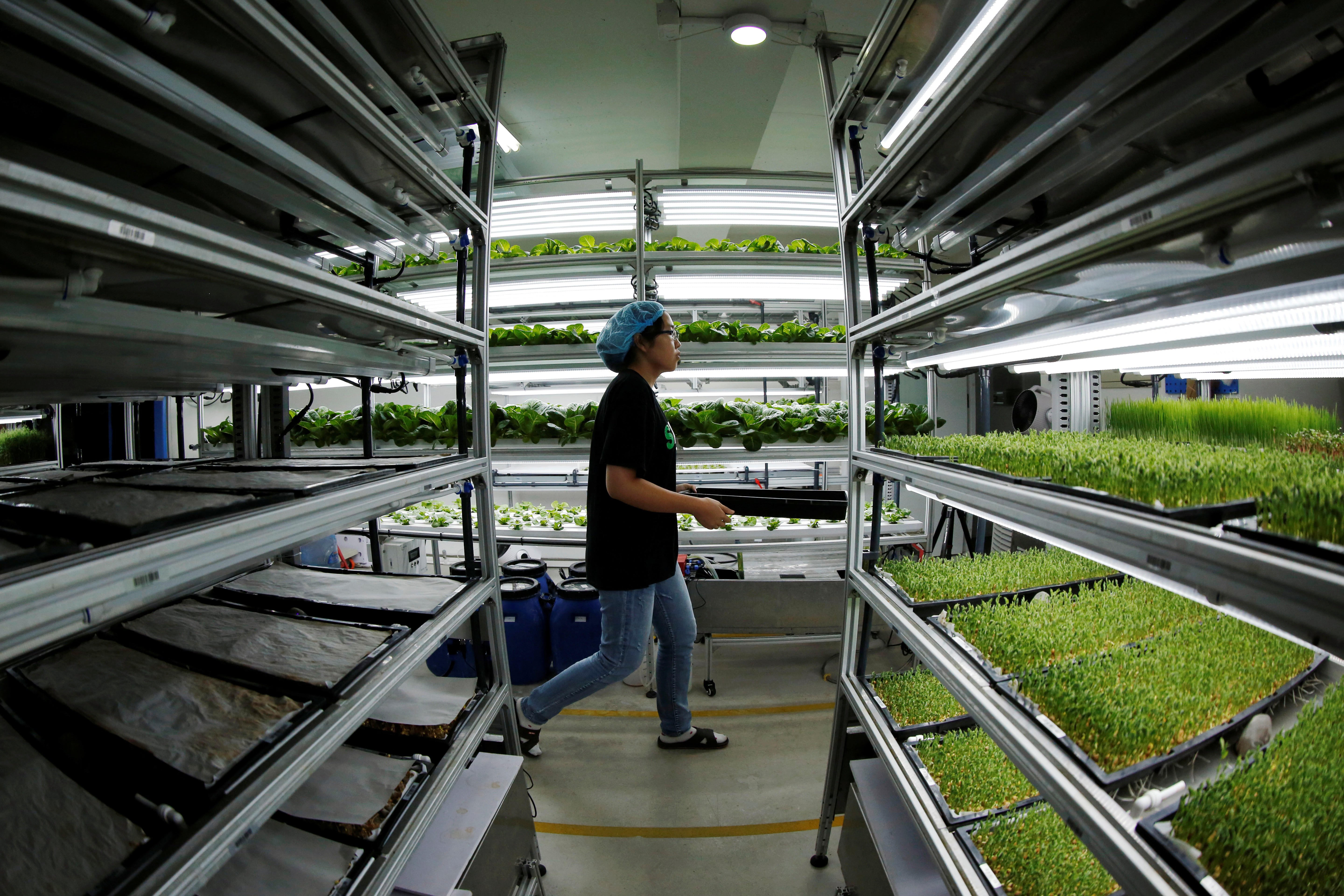 A staff member walks to harvest microgreens at an indoor hydroponic vegetable farming facility of Alesca Life.