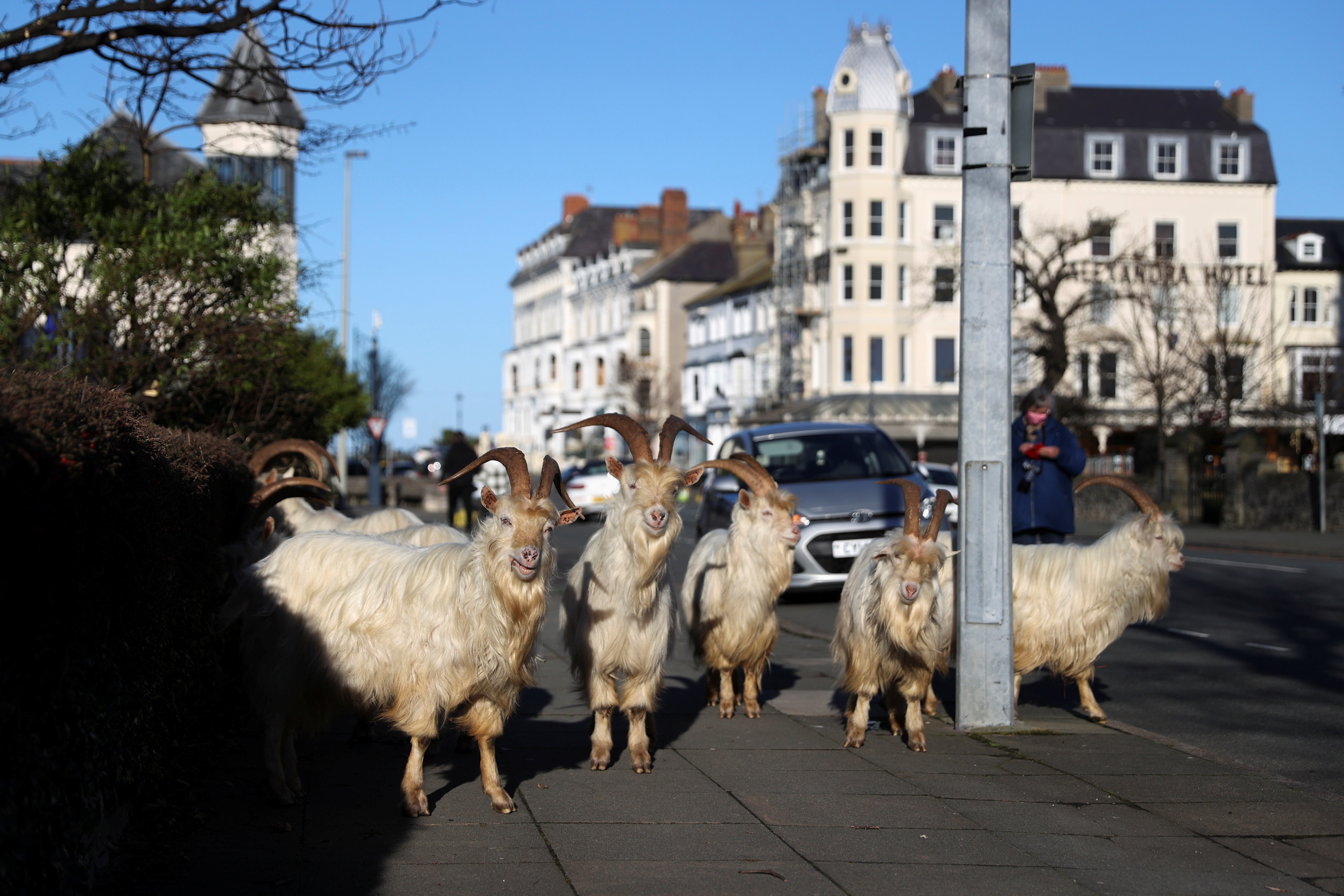 Goats are seen on a sidewalk, as the spread of the coronavirus disease (COVID-19) continues, Llandudno, Wales, Britain February 22, 2021. REUTERS/Carl Recine     TPX IMAGES OF THE DAY - RC2RXL9ZU2W2