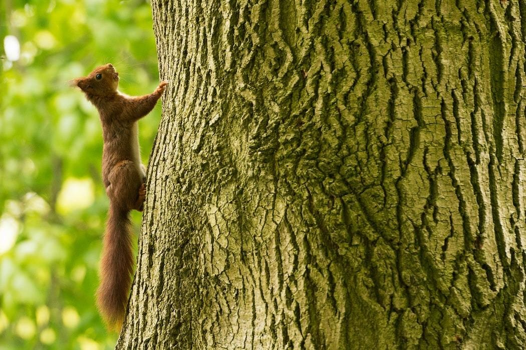 A red squirrel, similar to the ones found in Scotland are pictured climbing up the side of a tree.