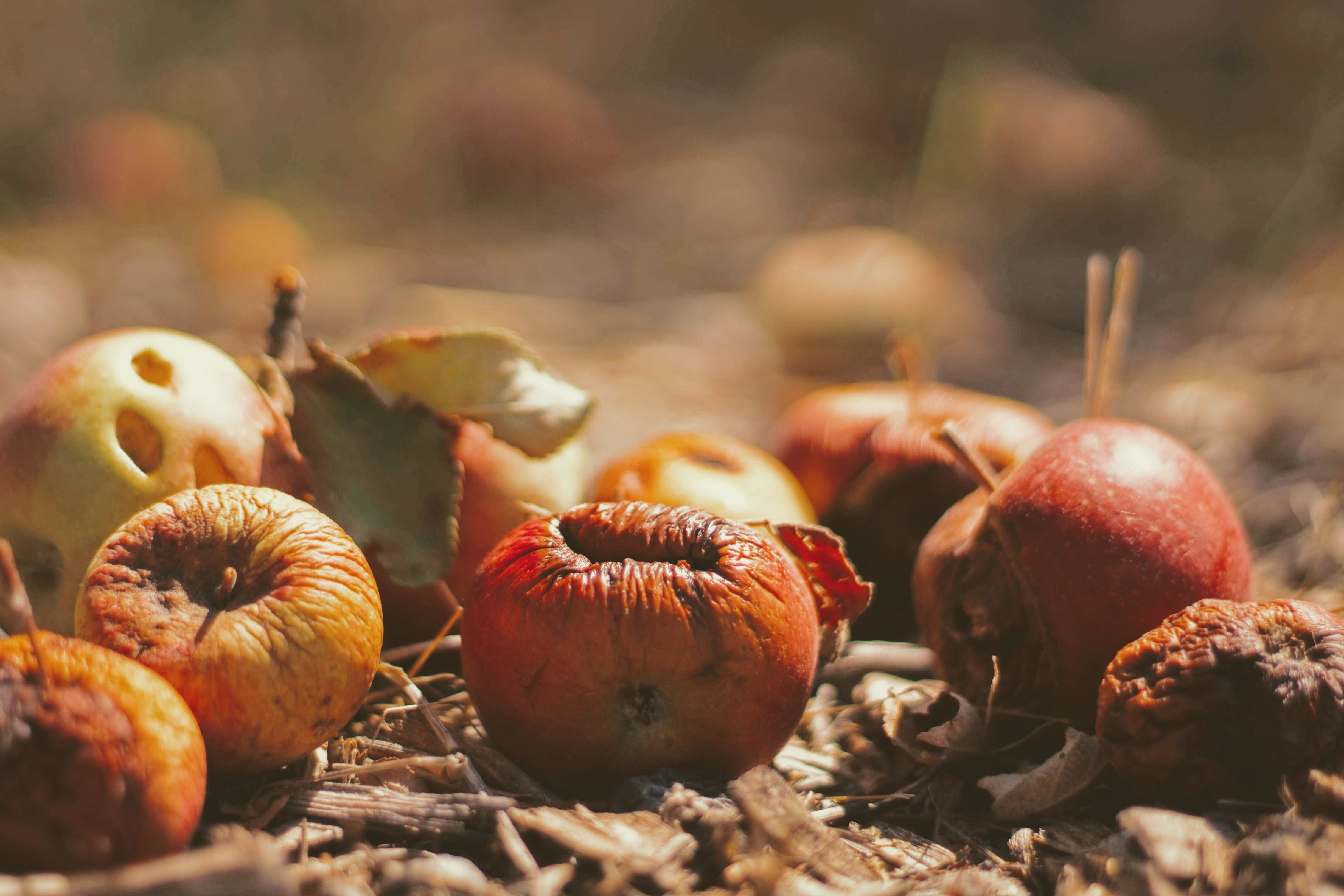 Apples rotting under a tree
