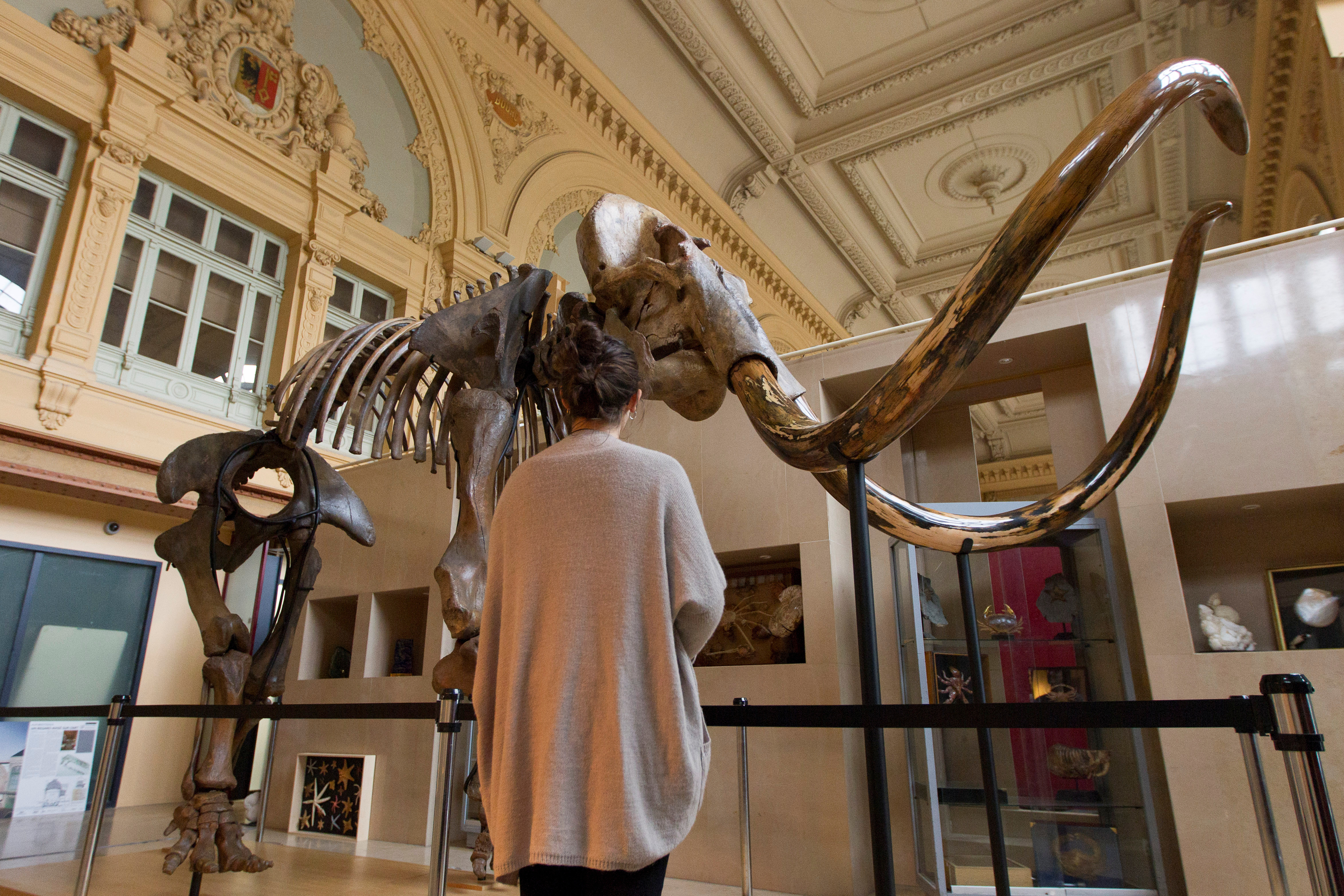 A visitor looks at a complete mammoth skeleton on displayed in a museum
