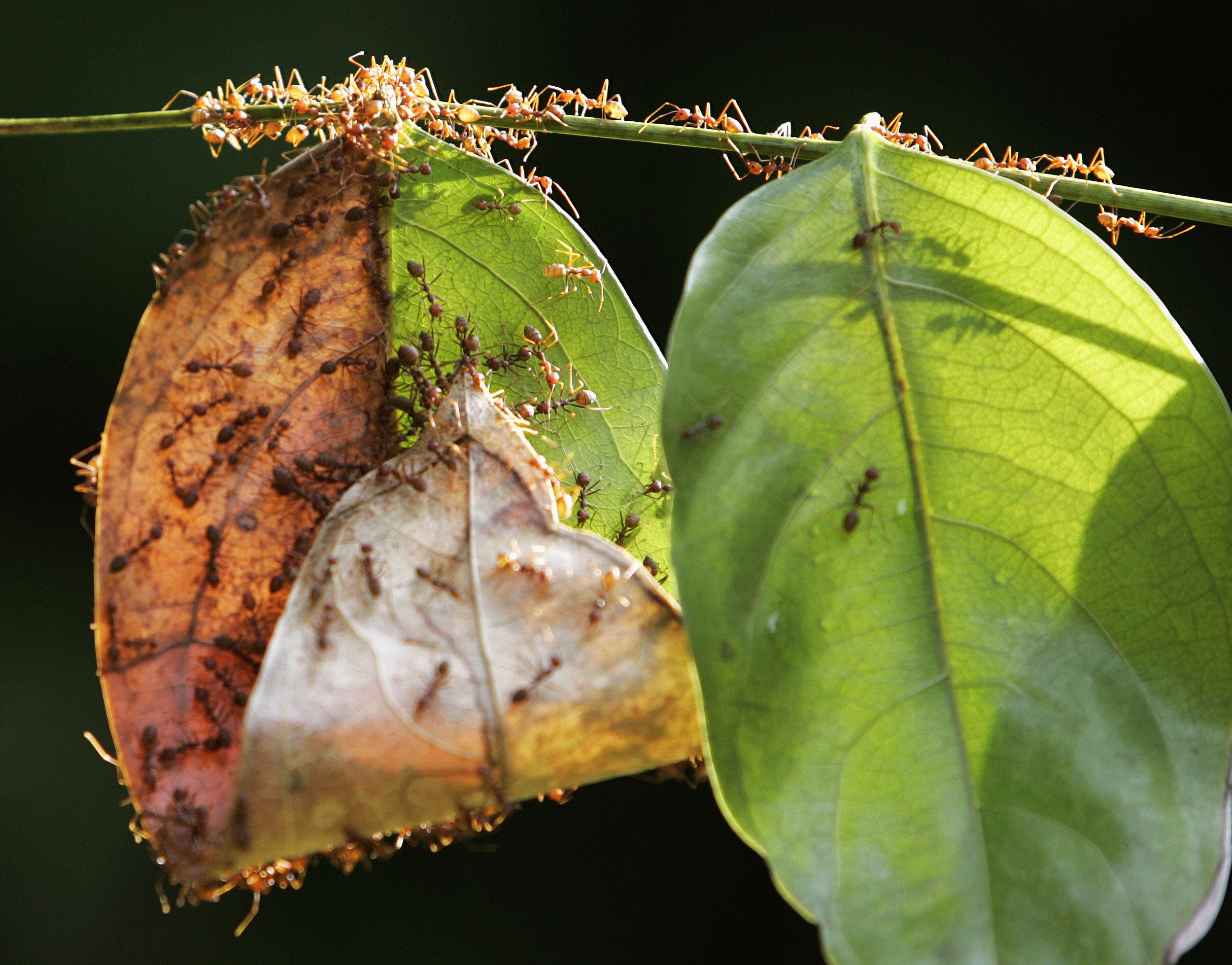 A colony of weaver ants build their nest from leaves in Kuala Lumpur January 31, 2009. Weaver ants get their name from their habit of binding fresh leaves with silk to form their nests. Their lifecycle spans a period of 8 to 10 weeks. REUTERS/Zainal Abd Halim (MALAYSIA) - GM1E51V0XHH01