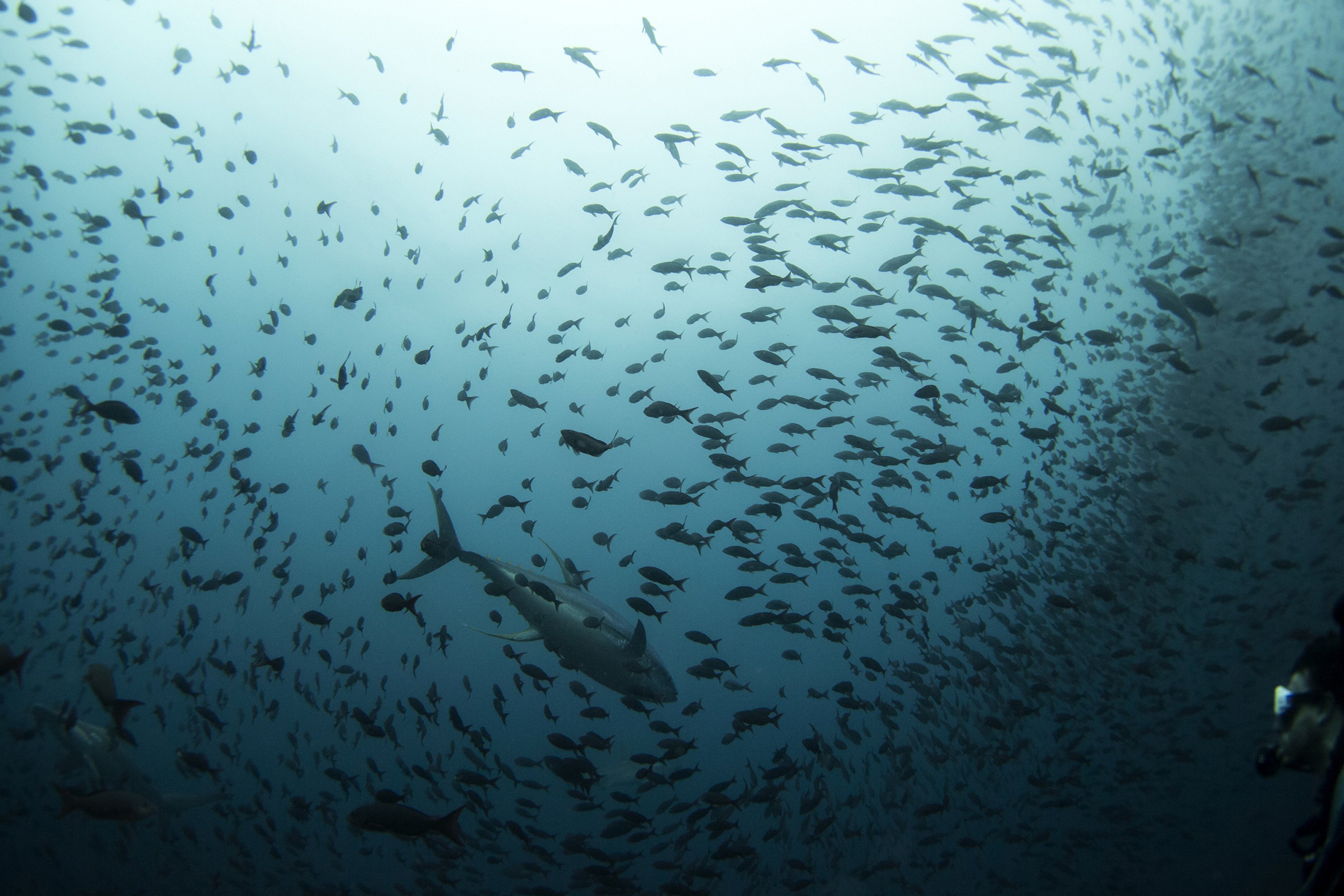 A-tuna-species-swimming-among-a-school-of-fish-as-a-scuba-diver-looks-on-at-Galapagos-Marine-Reserve