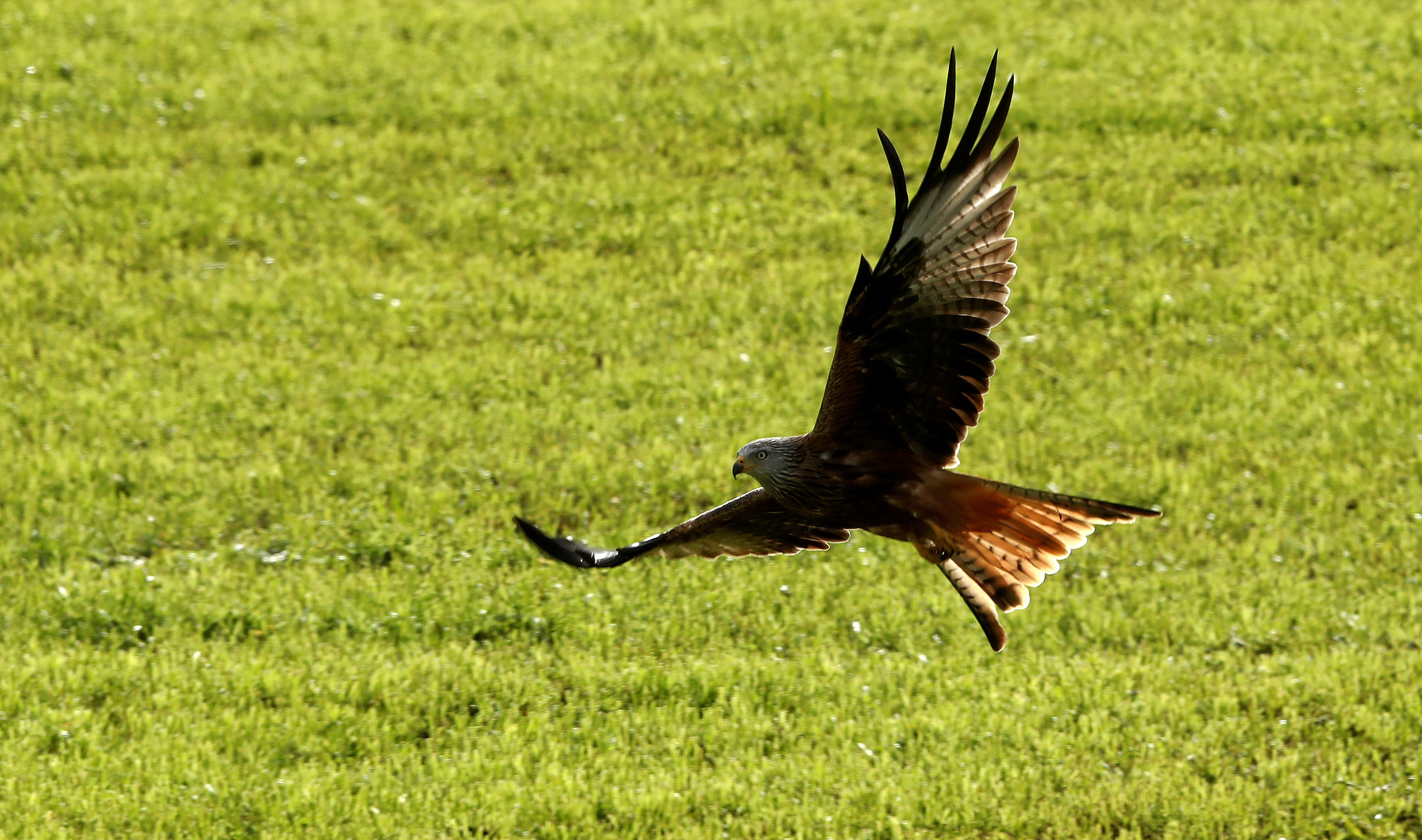 A red kite flies over a field during sunny autumn weather near Huettwilen, Switzerland October 30, 2017.  REUTERS/Arnd Wiegmann - RC16EF411AE0