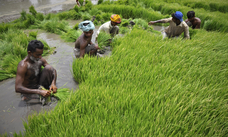 Men plant in a field in Larkana, located in Pakistan's Sindh province
