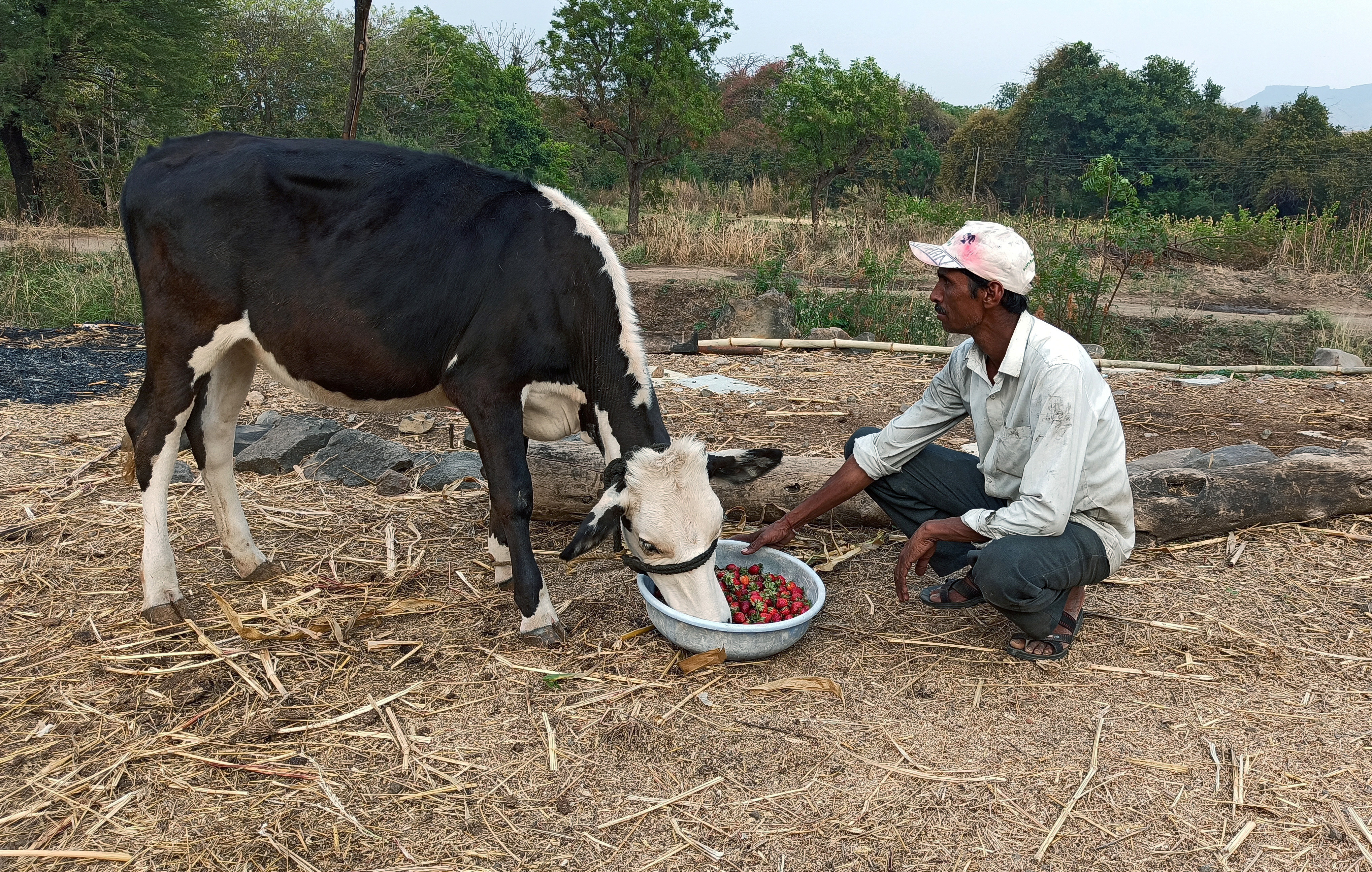 Anil Salunkhe, a farmer, feeds strawberries to his cow during a 21-day nationwide lockdown to slow the spreading of coronavirus disease (COVID-19), at Darewadi village in Satara district in the western state of Maharashtra, India, April 1, 2020. Picture taken April 1, 2020. REUTERS/Rajendra Jadhav - RC27WF9TA6EW