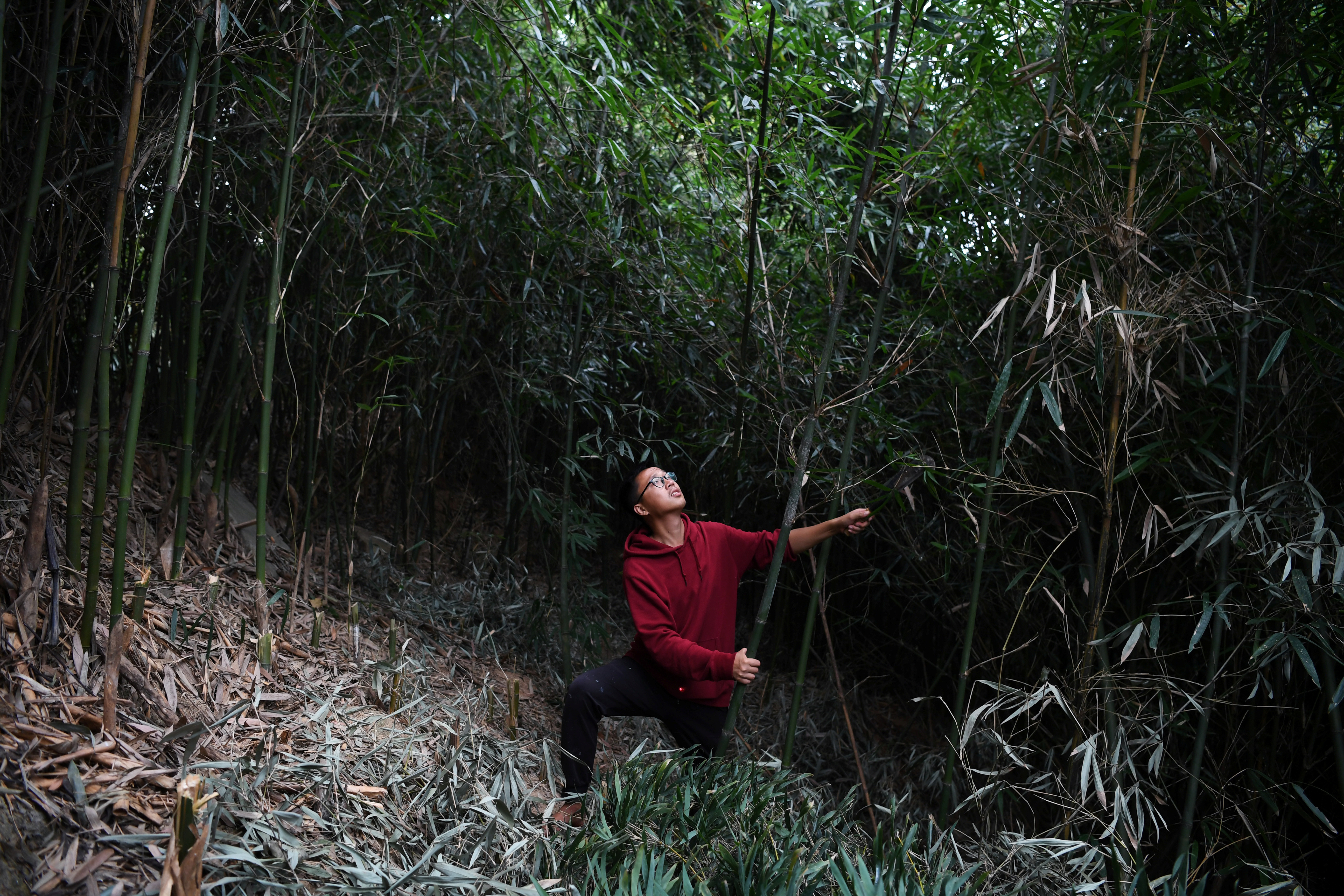 A bamboo stem is pulled down after being chopped off with a sickle in Guanzhong village, Fuzhou, Fujian province, China