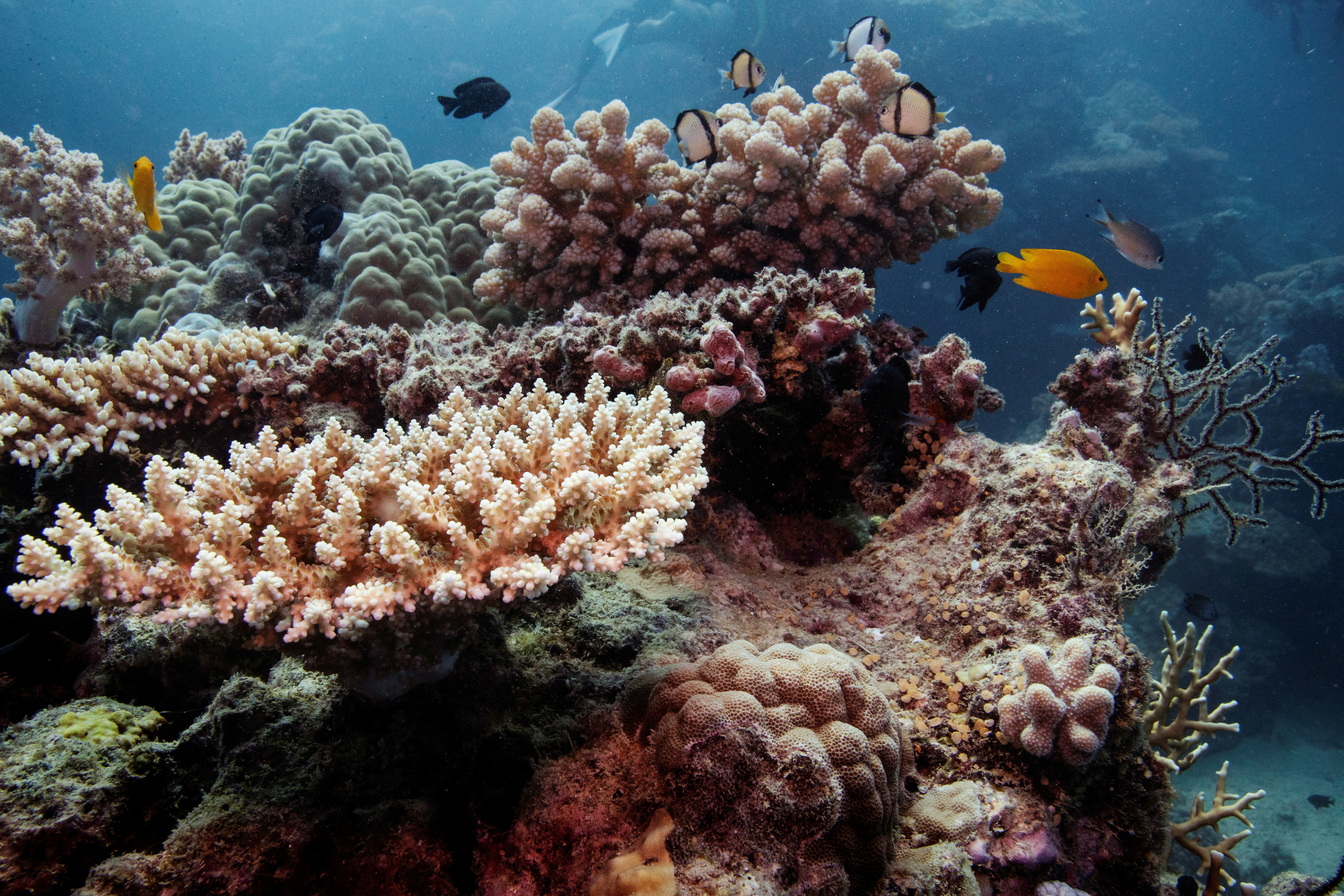Reef fish swim above recovering coral colonies on the Great Barrier Reef