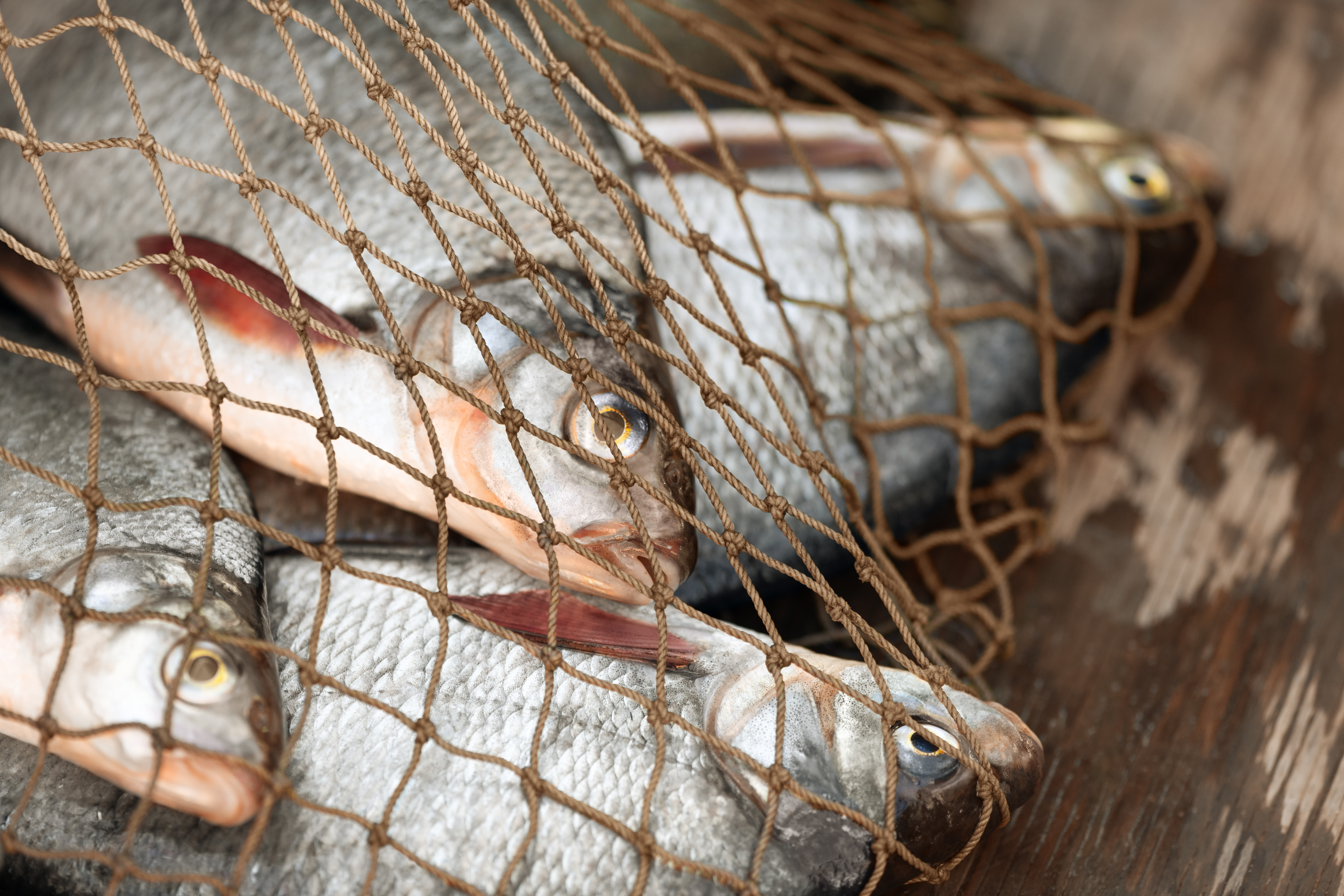 Four bream caught in a fishing net on board a boat involved in illegal, unreported and unregulated fishing. Photo: Irina Orlova/Shutterstock