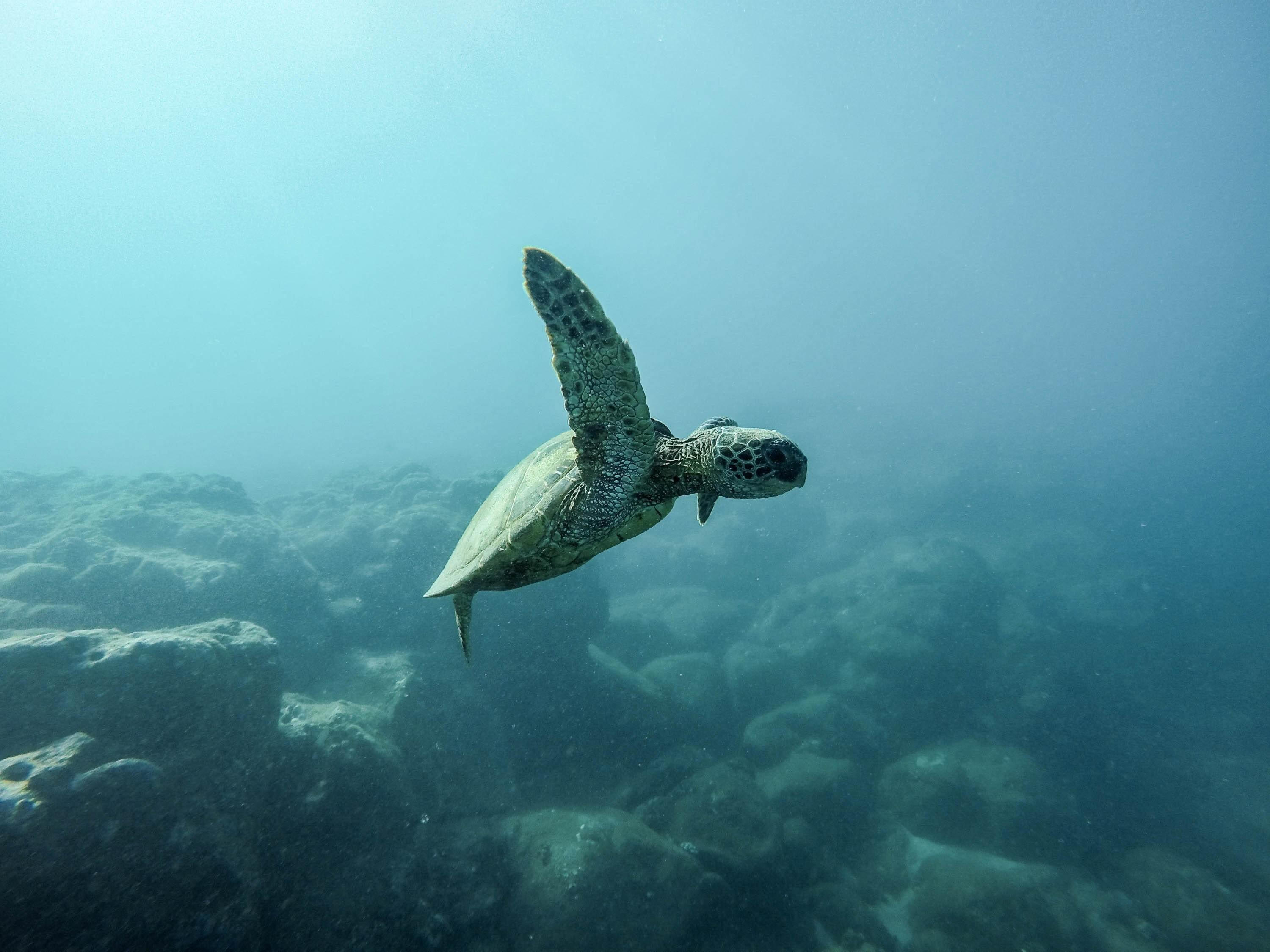 Baby sea turtles, such as this one, are suffering as a result of ocean plastic pollution.