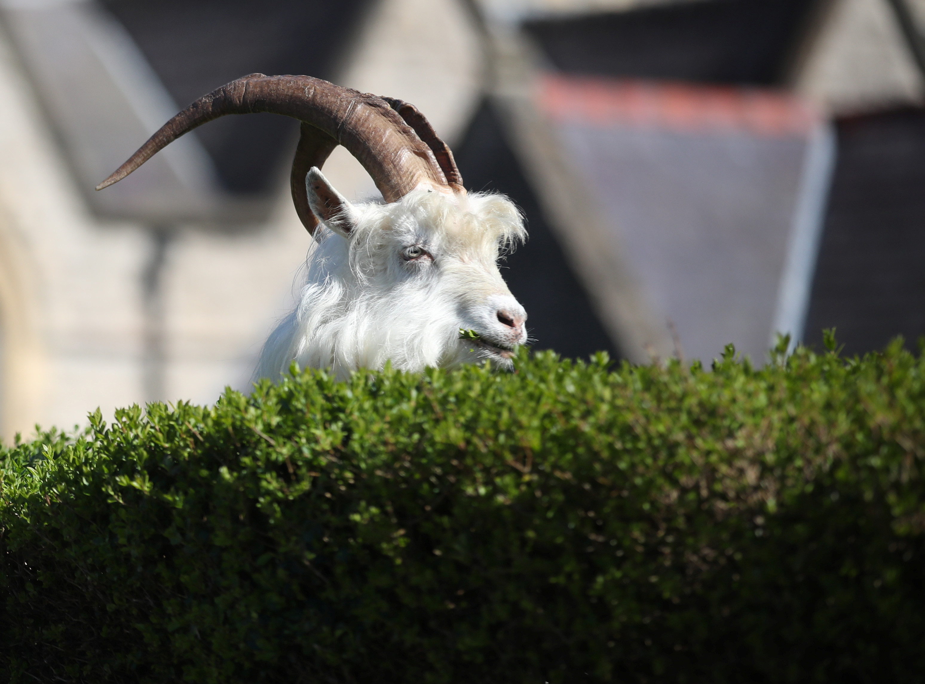 A goat is seen in a city in Llandudno, Wales, Britain, during the spread of COVID-19 on March 31, 2020.