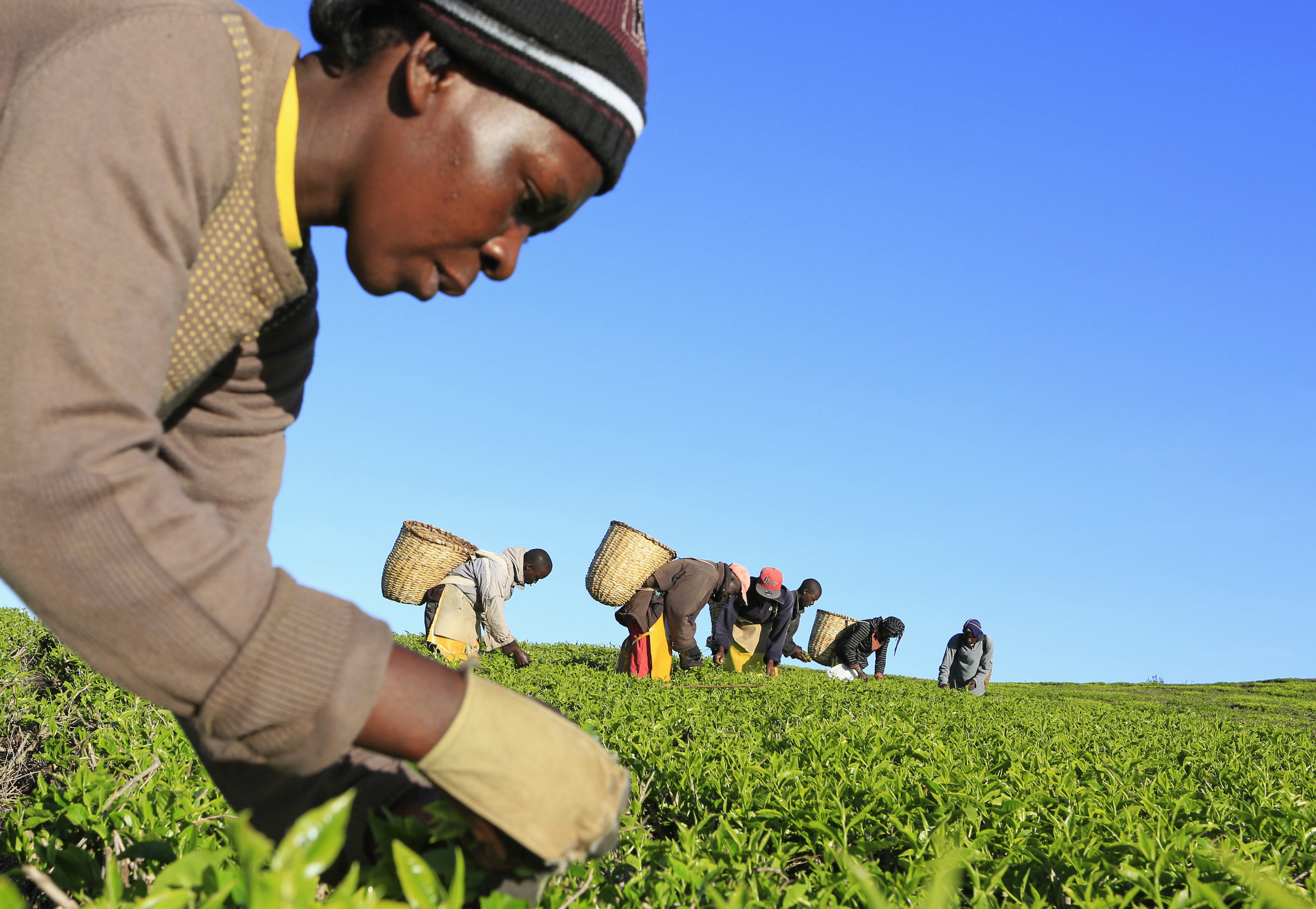 image of workers picking tea leaves at a plantation in Nandi Hills, in Kenya's highlands region west of capital Nairobi