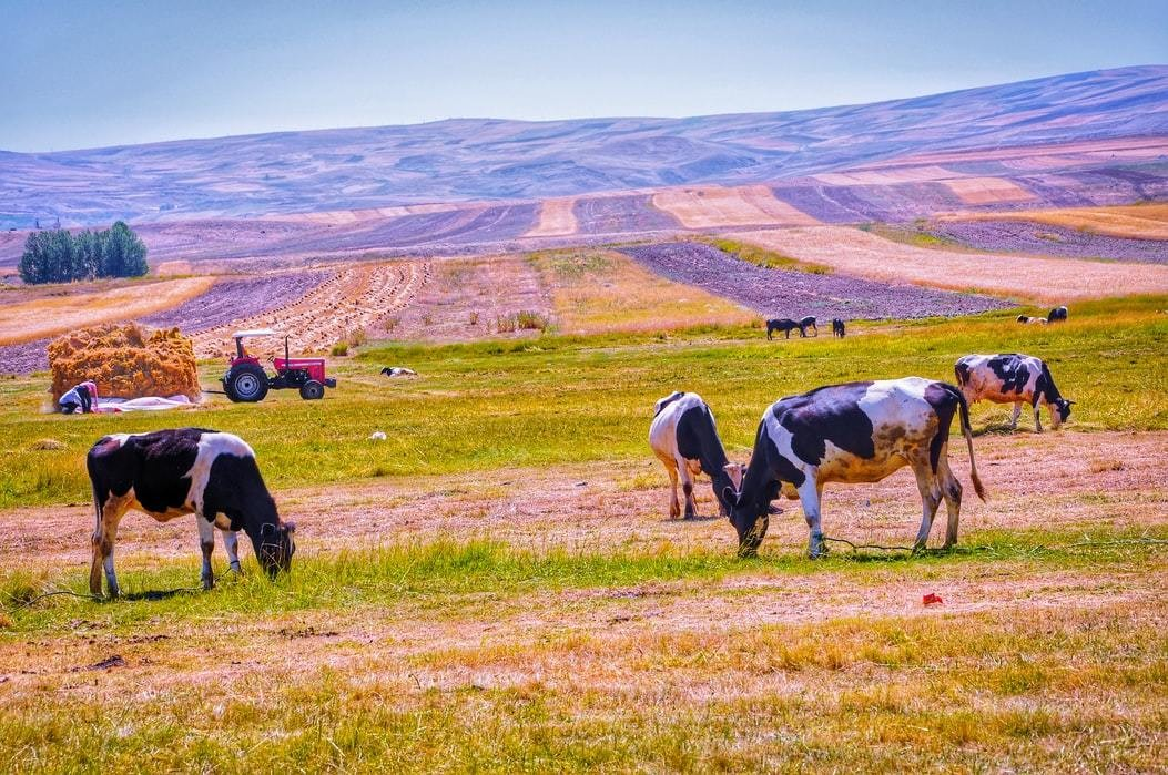 Cows are seen to be grazing on a farm in Iran.