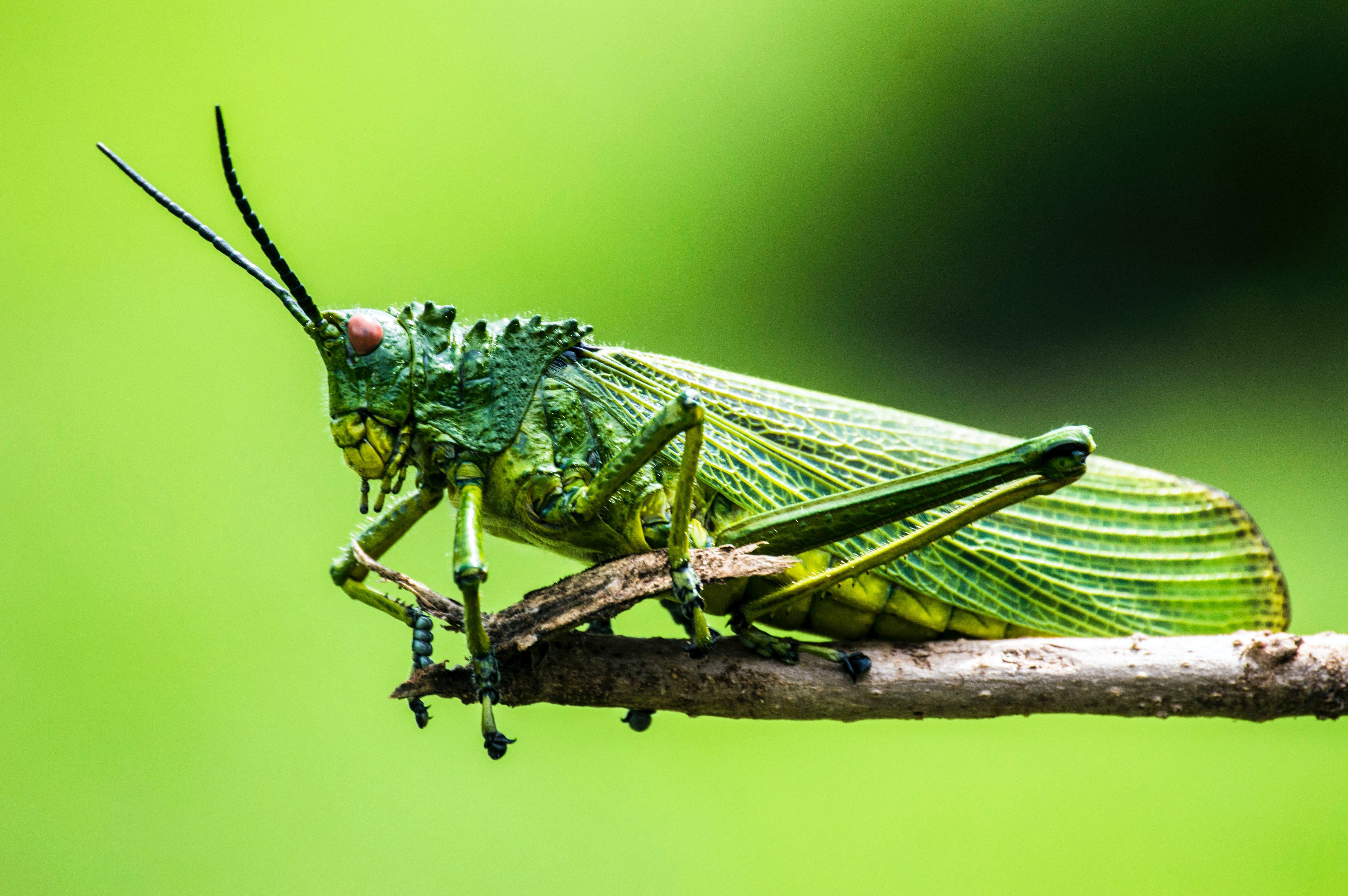 A close up of a grasshopper perched on a twig