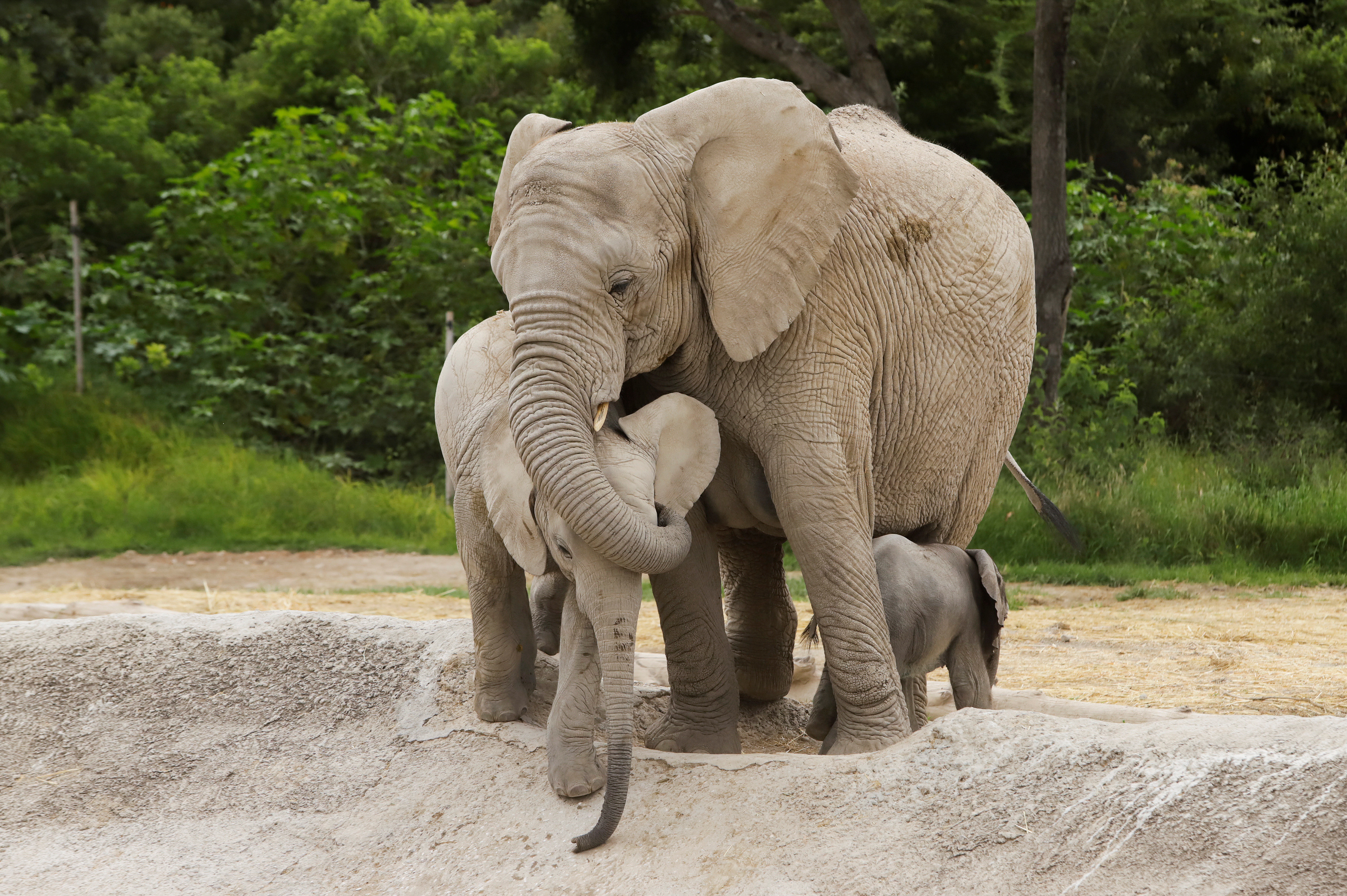An African elephant calf, which was born at Africam Safari zoo as part of its breeding programme, is seen with its mother at their enclosure, in Valsequillo, Mexico August 12, 2020. REUTERS/Imelda Medina - RC2LCI9KF3GQ