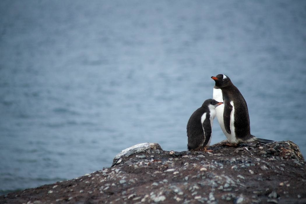 image of 2 penguins on a rock with no snow or ice in Antarctica
