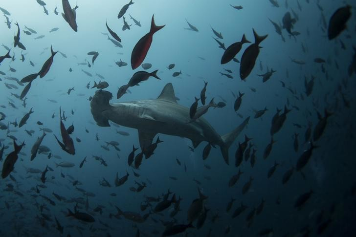 A hammerhead shark swims close to Wolf Island at Galapagos Marine Reserve August 19, 2013. Picture taken August 19, 2013.  REUTERS/Jorge Silva (ECUADOR - Tags: ENVIRONMENT SOCIETY ANIMALS TRAVEL)