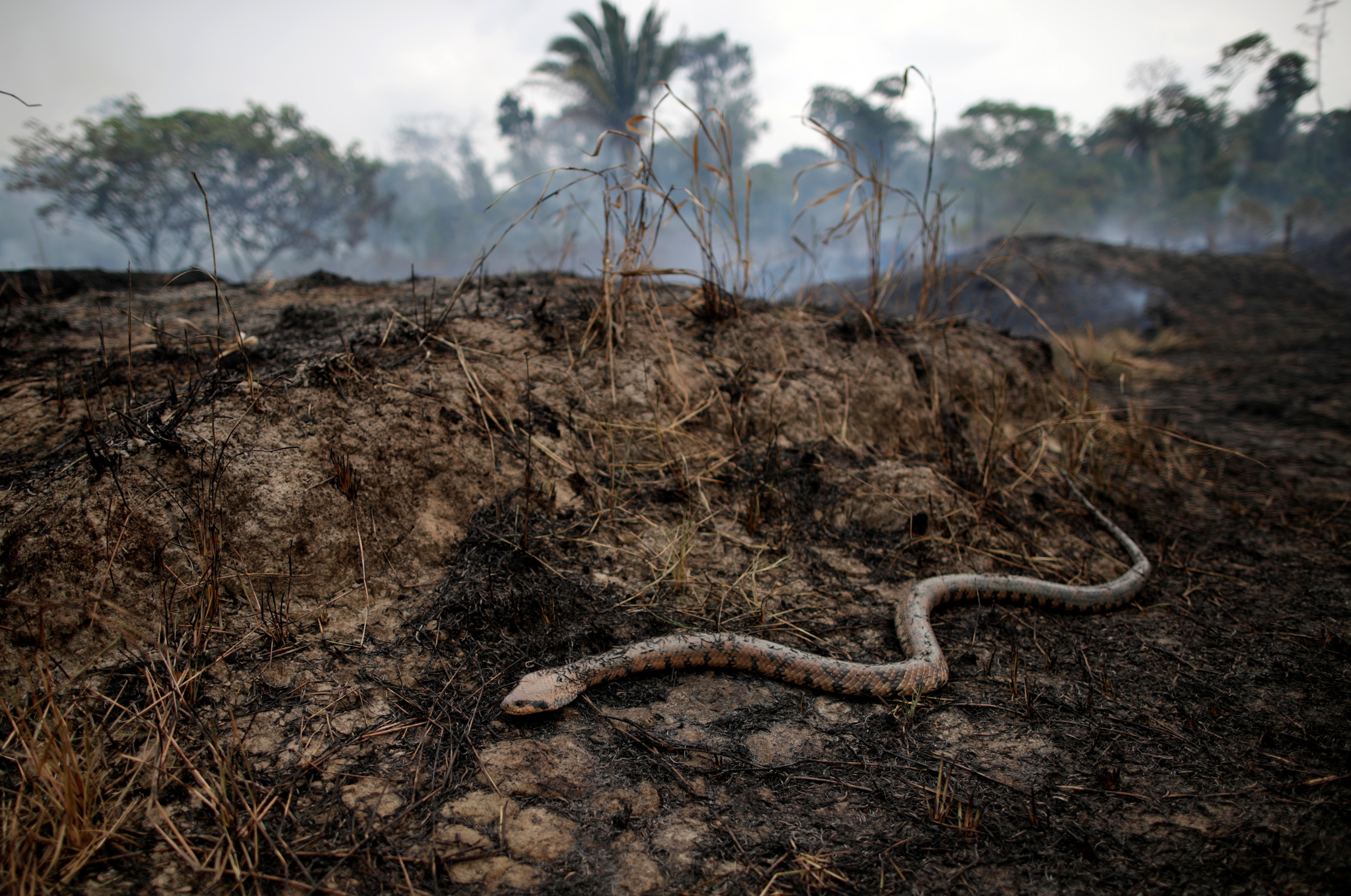 A snake is seen while a tract of the Amazon jungle burns as it is cleared by loggers and farmers in Porto Velho, Brazil August 24, 2019. REUTERS/Ueslei Marcelino - RC1D9D219F30