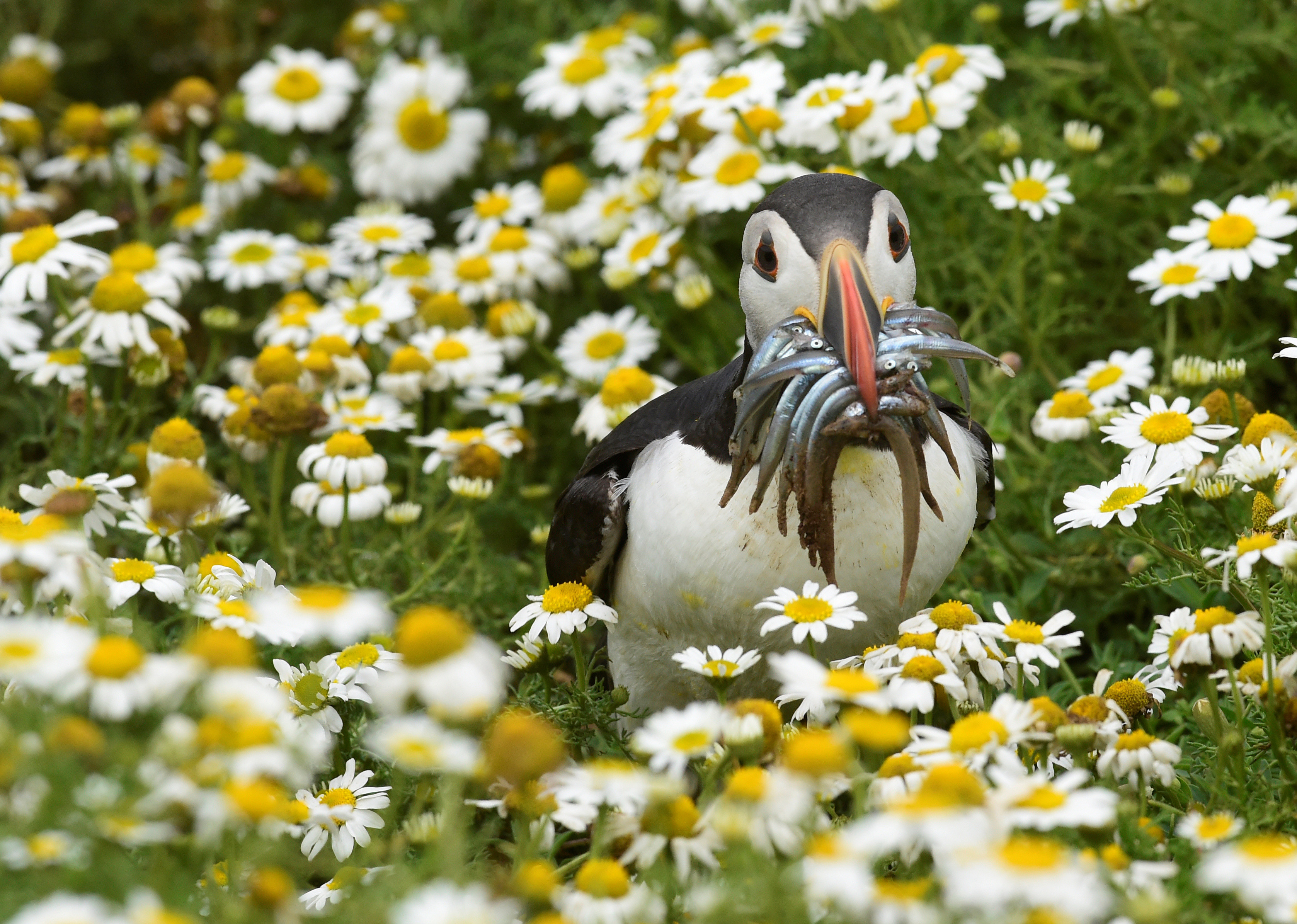 An Atlantic Puffin holds a mouthful of sand eels on the island of Skomer, off the coast of Pembrokeshire, Wales July 18, 2017. REUTERS/Rebecca Naden - RC16A9E6F220