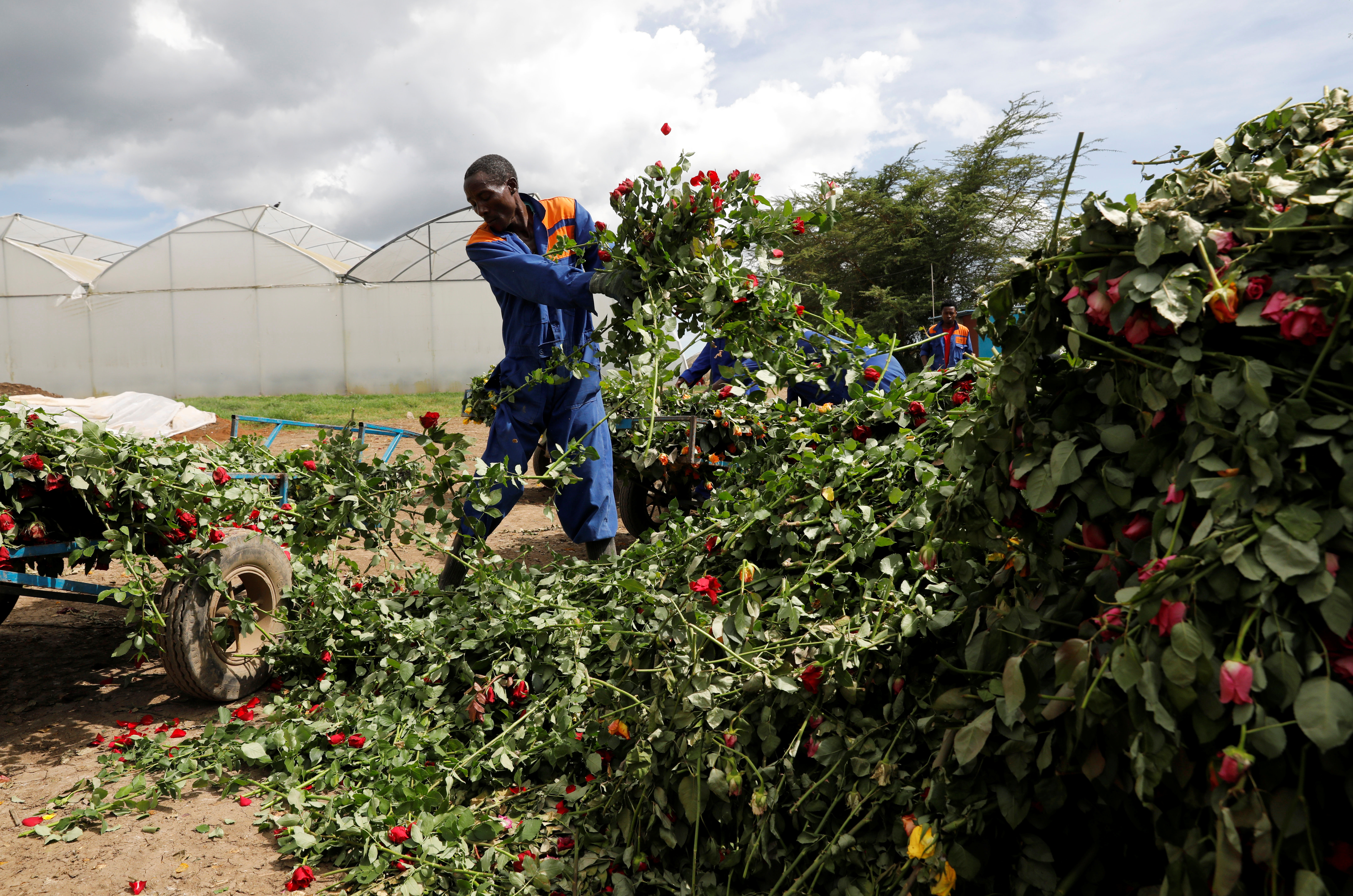 Workers throw away roses that can not be shipped to Europe due of the spread of the coronavirus disease (COVID-19) at the Maridadi flower farm in Naivasha, Kenya, March 19, 2020. REUTERS/Baz Ratner - RC2NNF9RTZIY