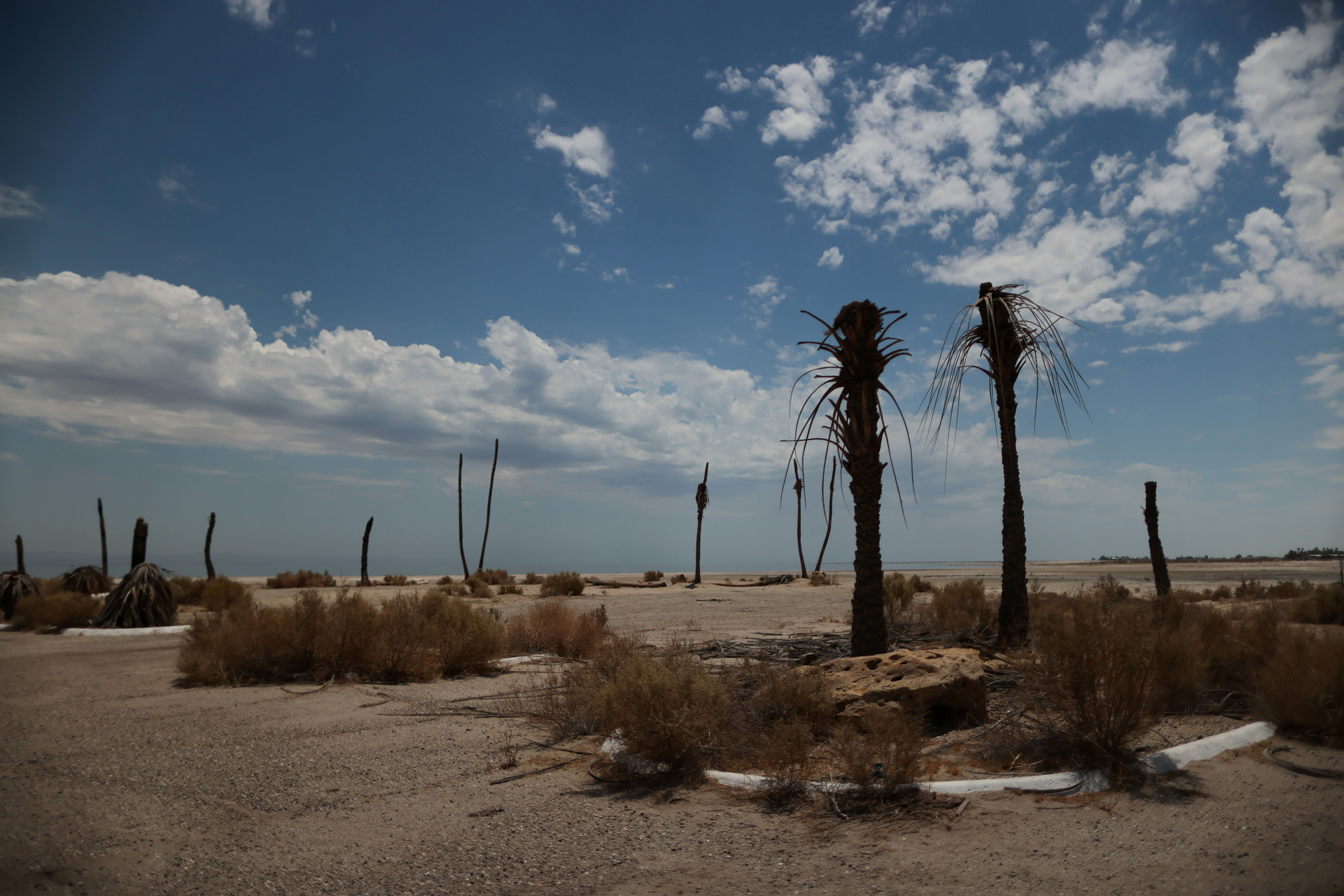 Dead palm trees are seen near the beaches of the Salton Sea, as California faces its worst drought since 1977, in Salton City, California, U.S