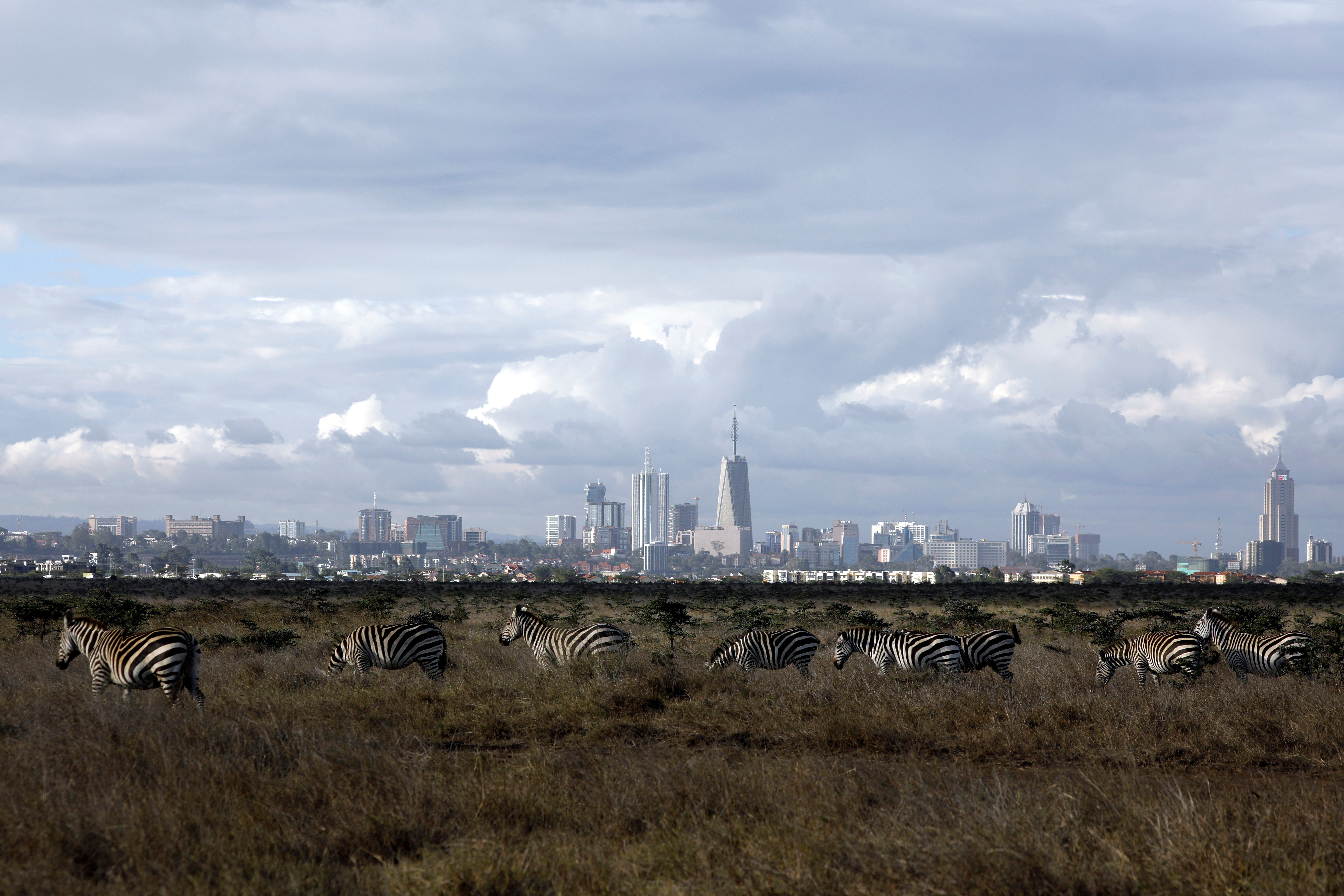 The Nairobi skyline is seen in the background as zebras walk through the Nairobi National Park, near Nairobi, Kenya, December 3, 2018.