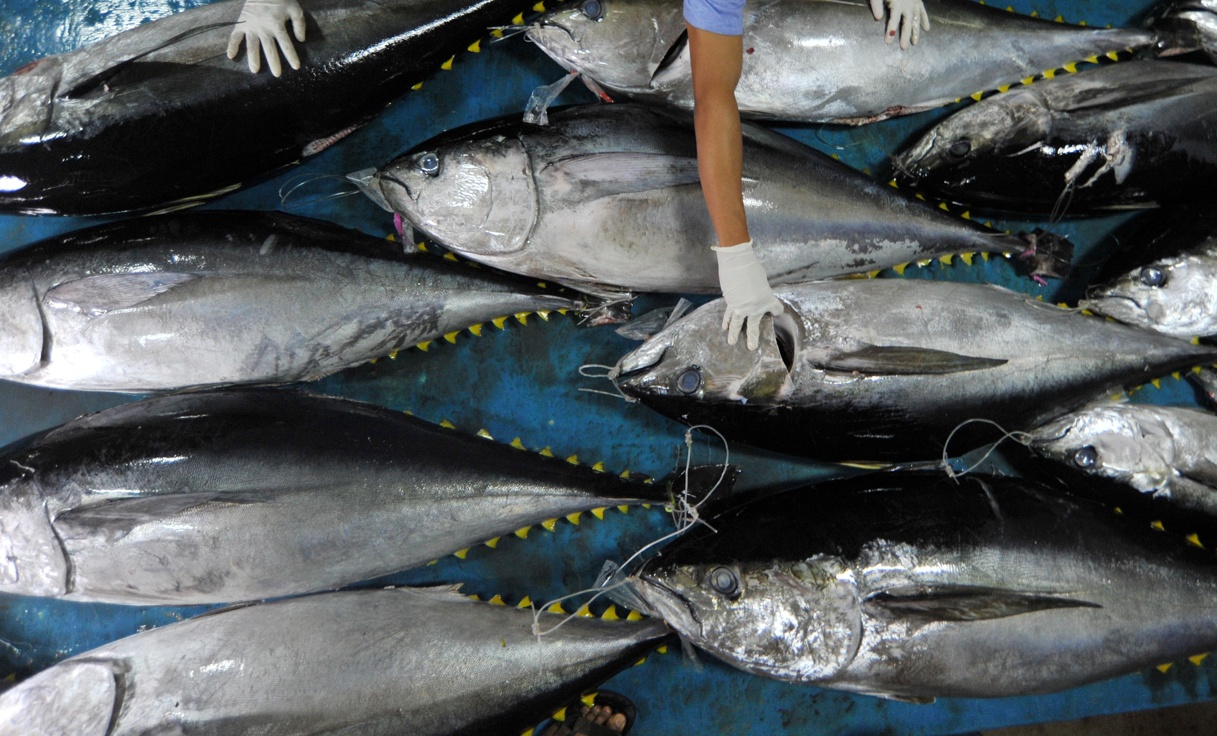 Officials from the Fish Quarantine and Quality Control agency examine fresh tuna at Saudera Bungus fishery port in Padang, West Sumatra, Indonesia, July 23, 2018 in this photo taken by Antara Foto.  Picture taken July 23, 2018.