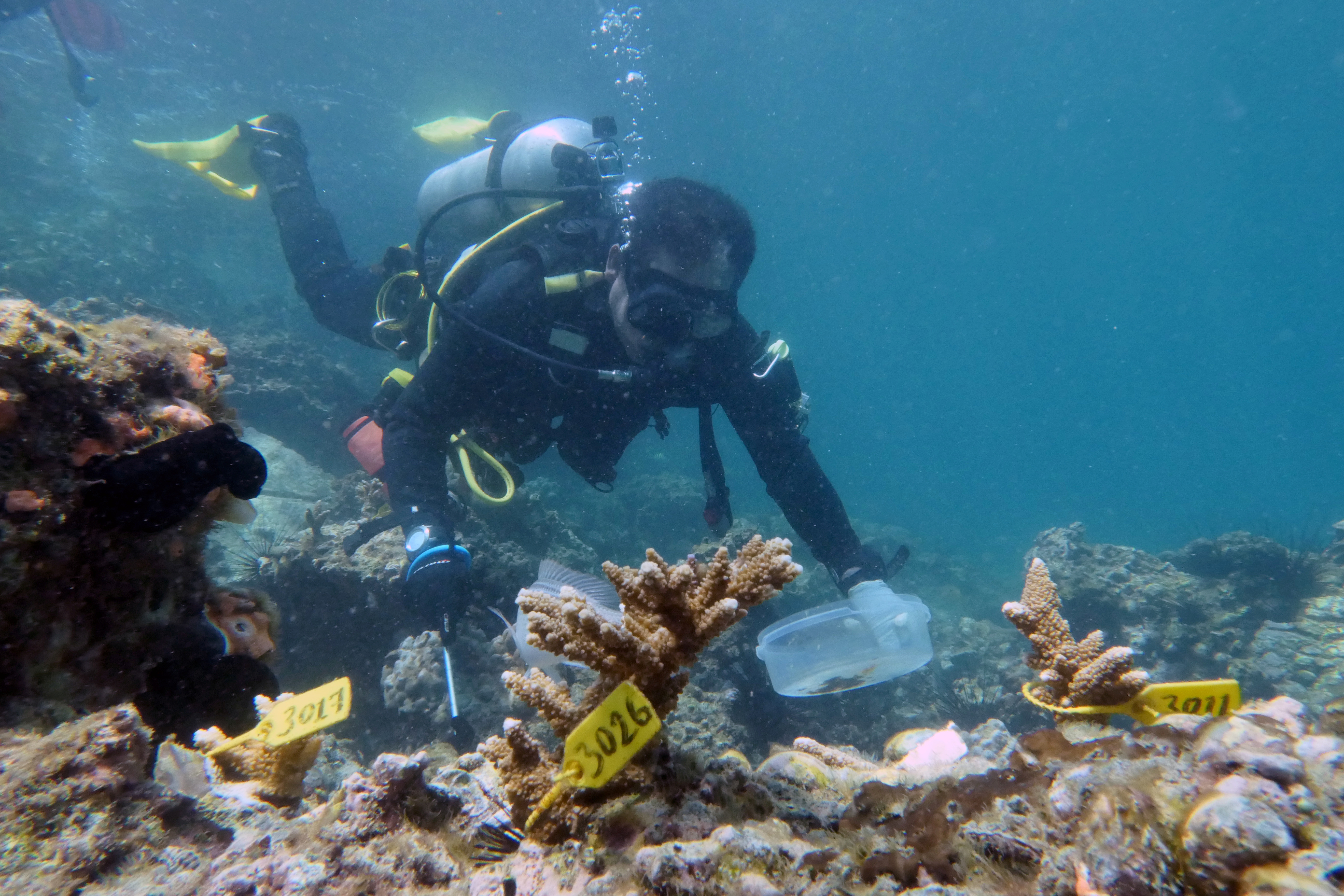 A diver inspects transplanted coral near Dibba Port in Fujairah, United Arab Emirates, June 15, 2020. Picture taken June 15, 2020. REUTERS/Christopher Pike - RC2MBH9IA8NL