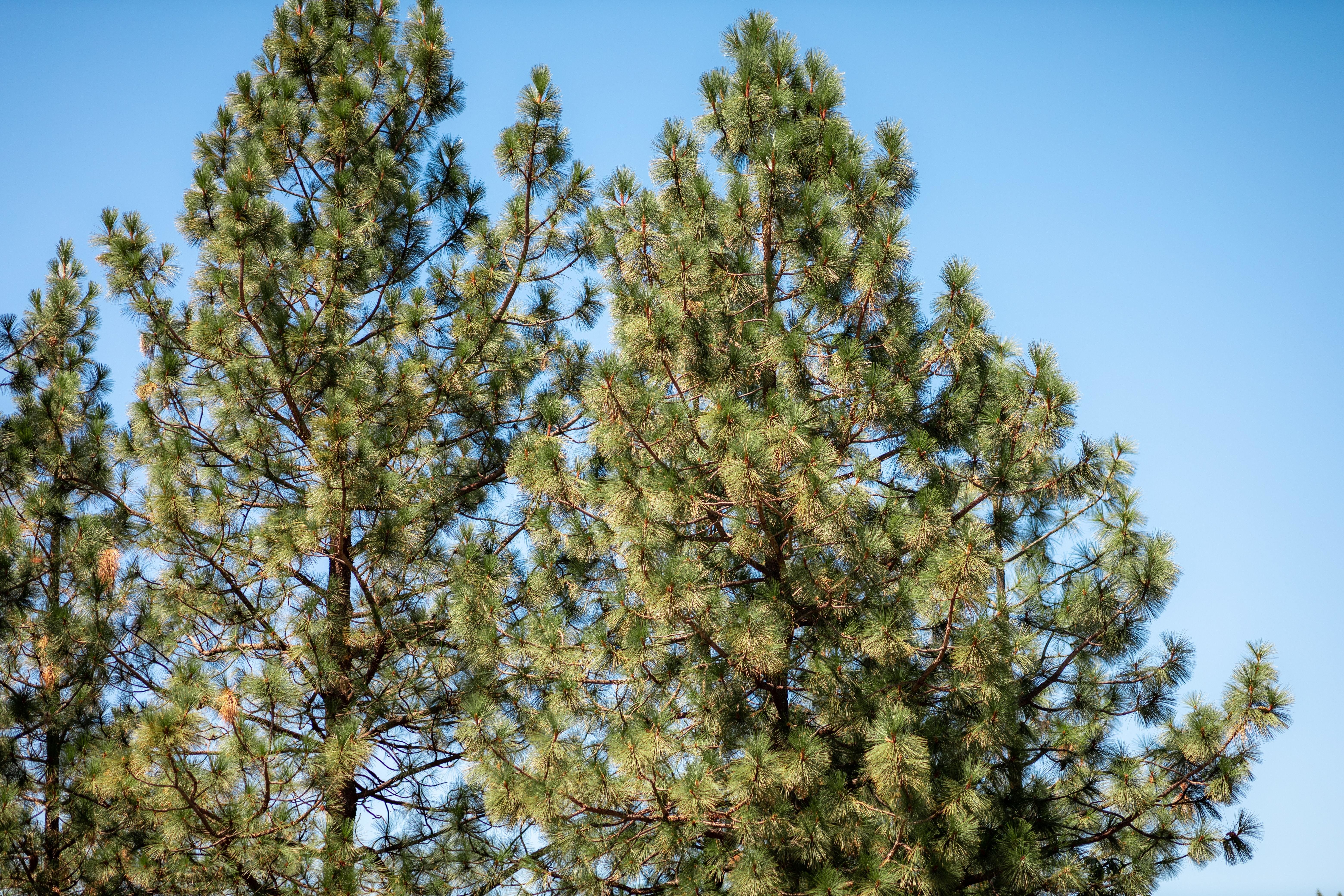 A picture of Pine trees