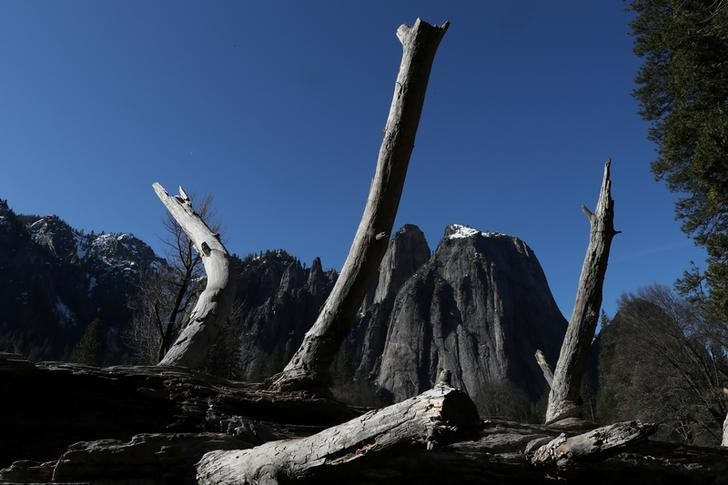 A dead tree is seen in Yosemite National Park, California, U.S., March 30, 2019. REUTERS/Lucy Nicholson