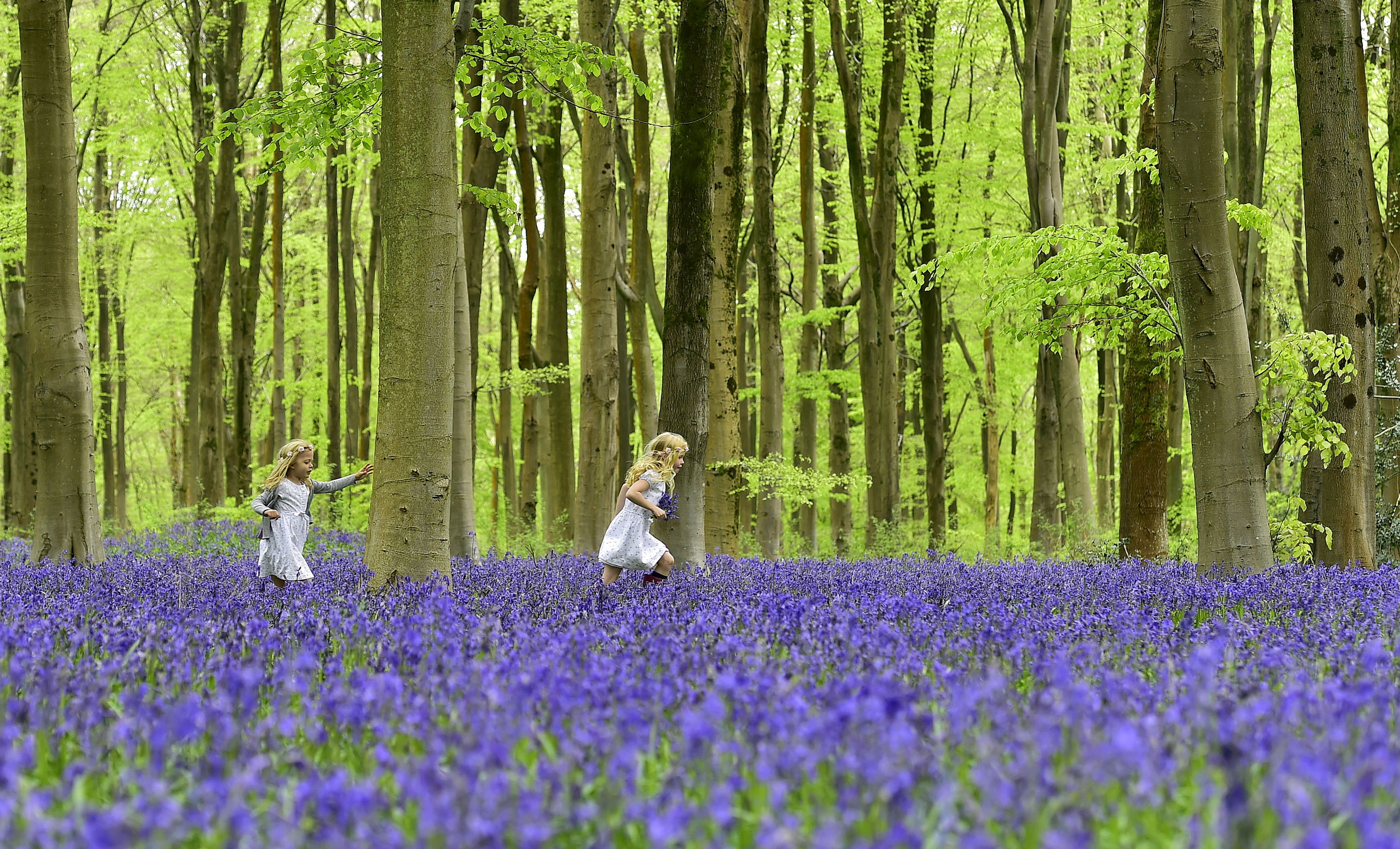 Local youngsters Bella (L) and Daisy run through a forest covered in bluebells near Marlborough in southern England, May 4, 2015. The Savernake Forest and West Woods, managed by the Forestry Commission and replanted in the 1930s to 1950s with beech trees, provide one of the most spectacular sites in Britain for seeing bluebells at this time of year. REUTERS/Toby Melville      TPX IMAGES OF THE DAY      - GF10000083553