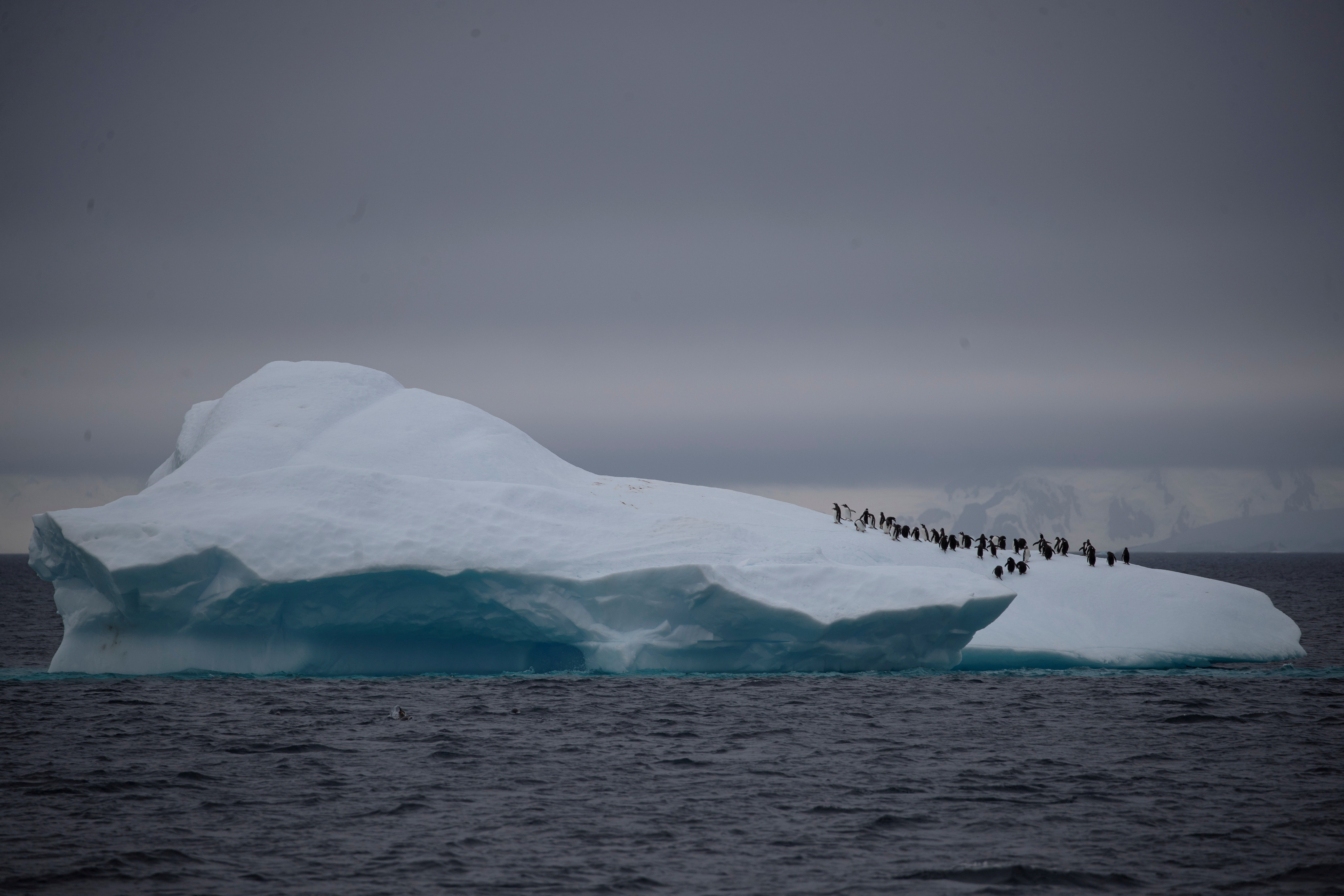 A group of chinstrap penguins walk on top of an iceberg.